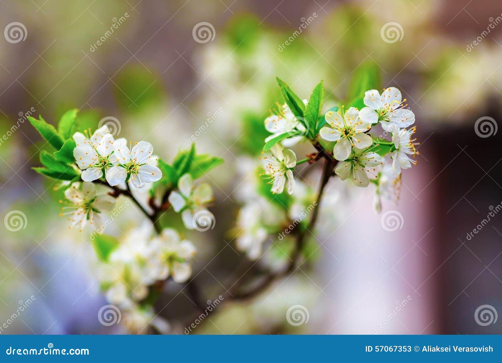 De lente het bloeien