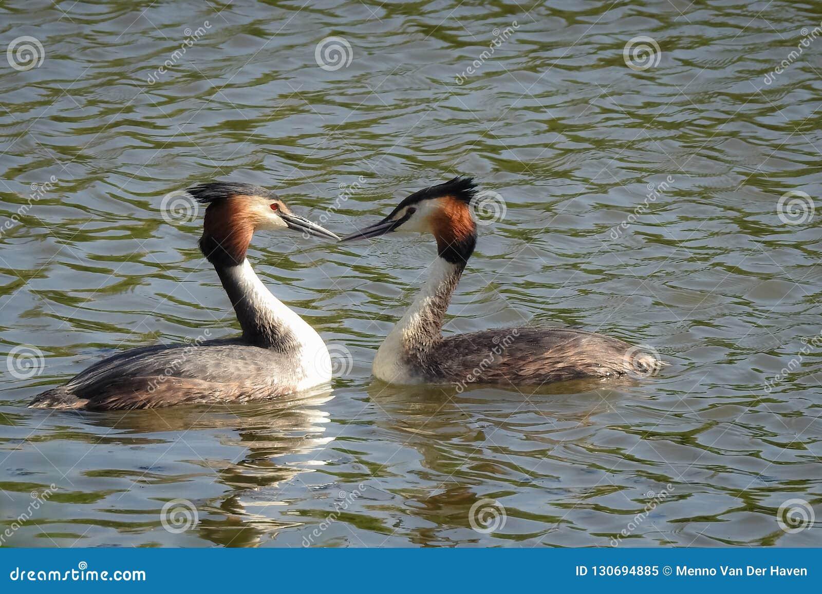De lente: twee futen in het water