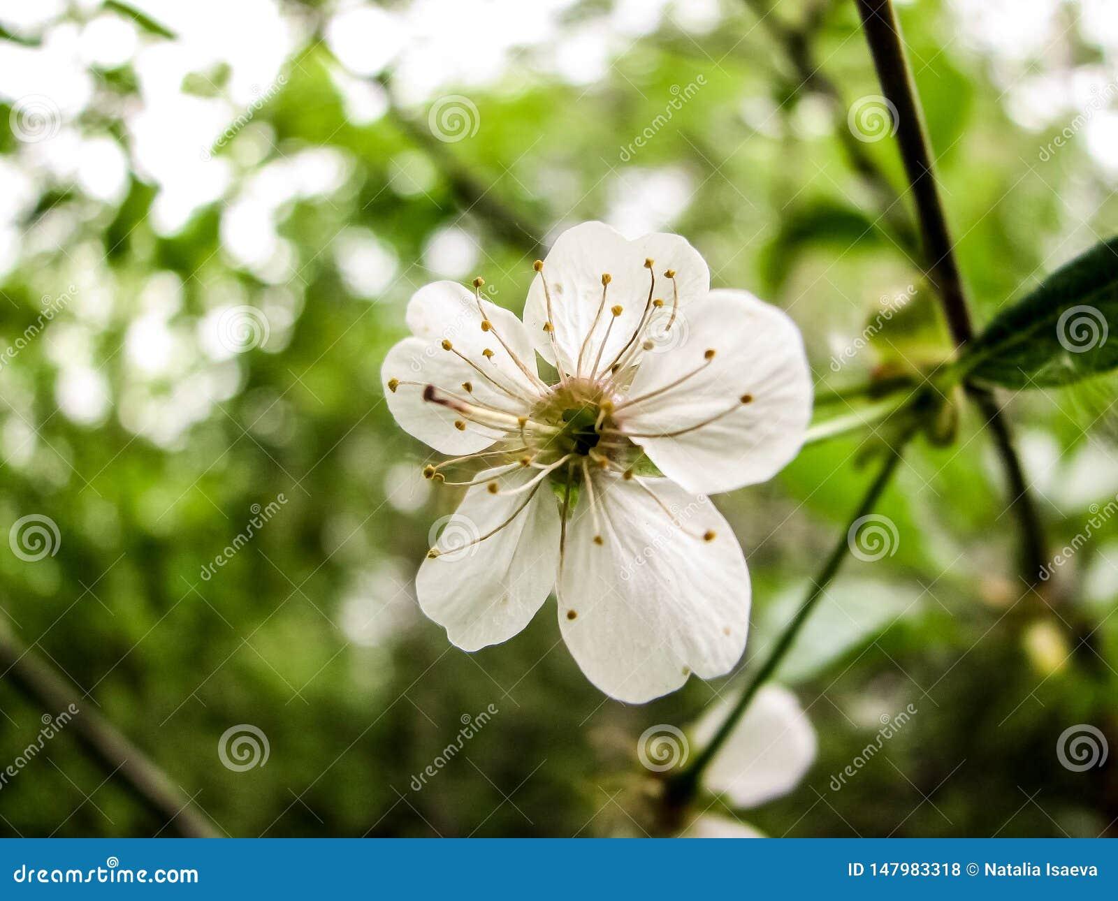 De lente van de kersenbloesem kan binnen