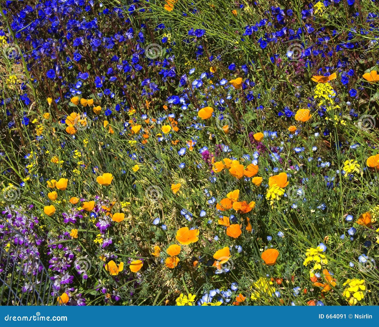 De Lente Wildflowers van de woestijn