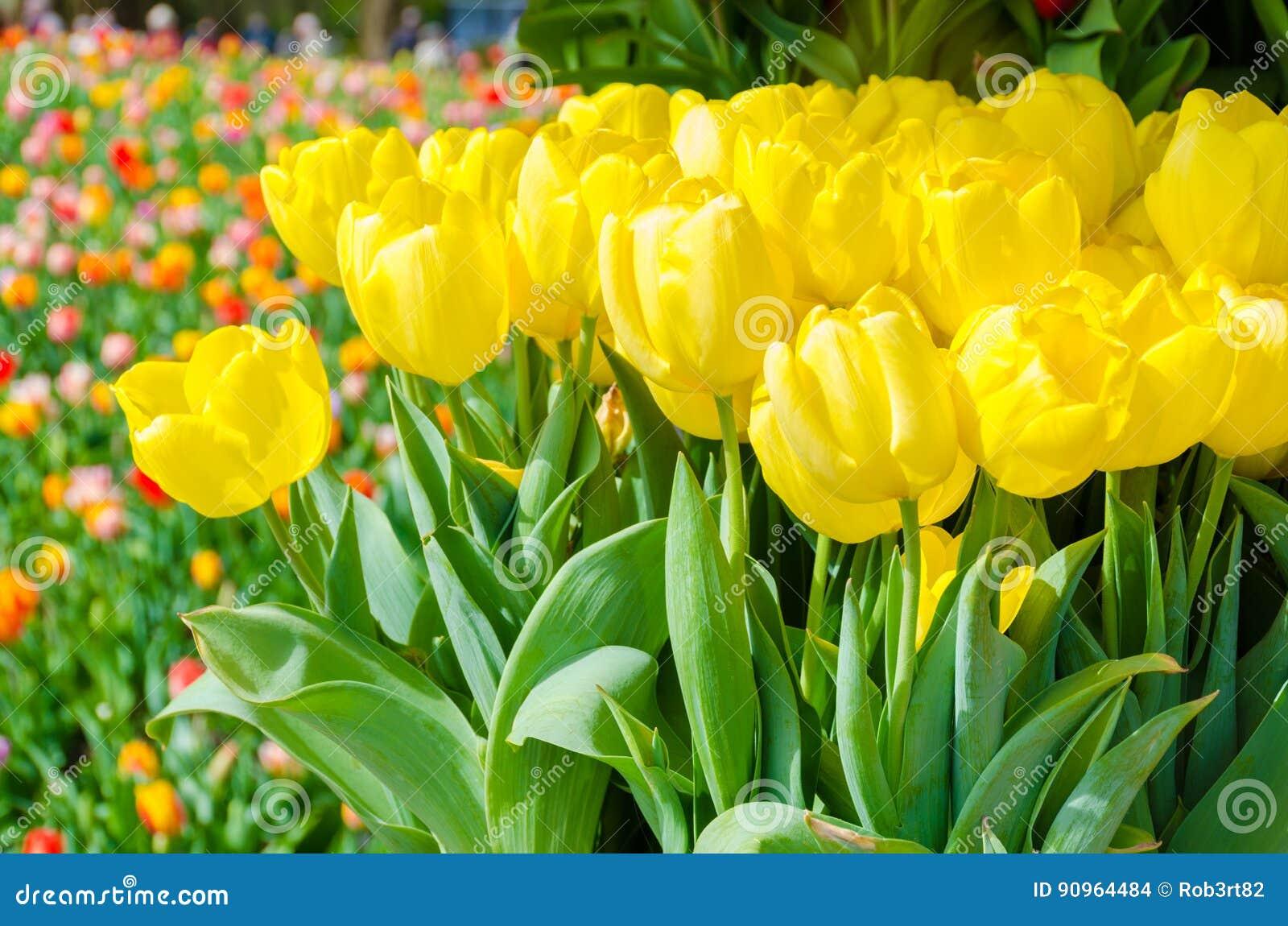 De lenteachtergrond met mooie gele tulpen in keukenhof tuin
