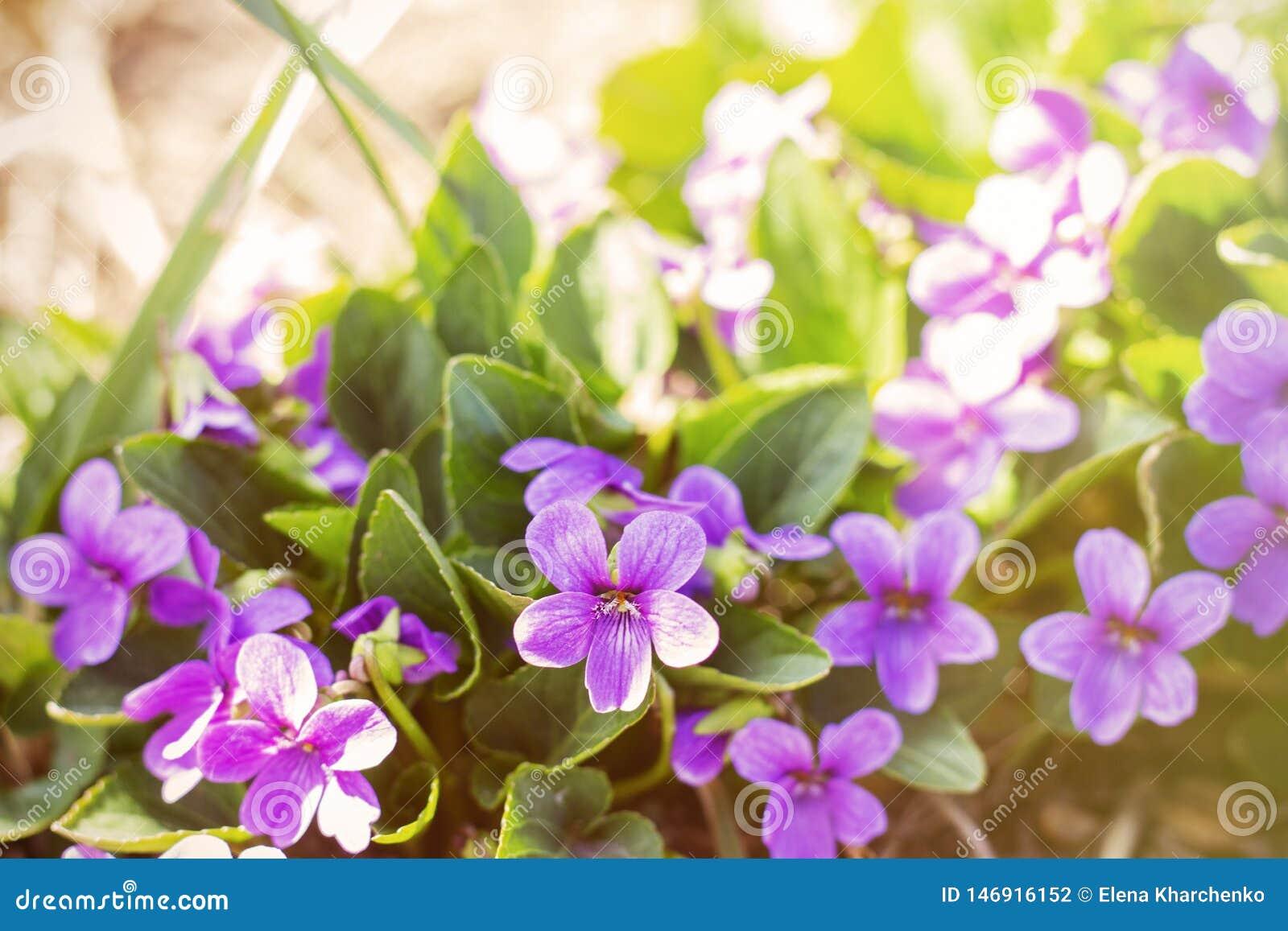 De lentebloei de eerste bloemen kleine purpere bloemen