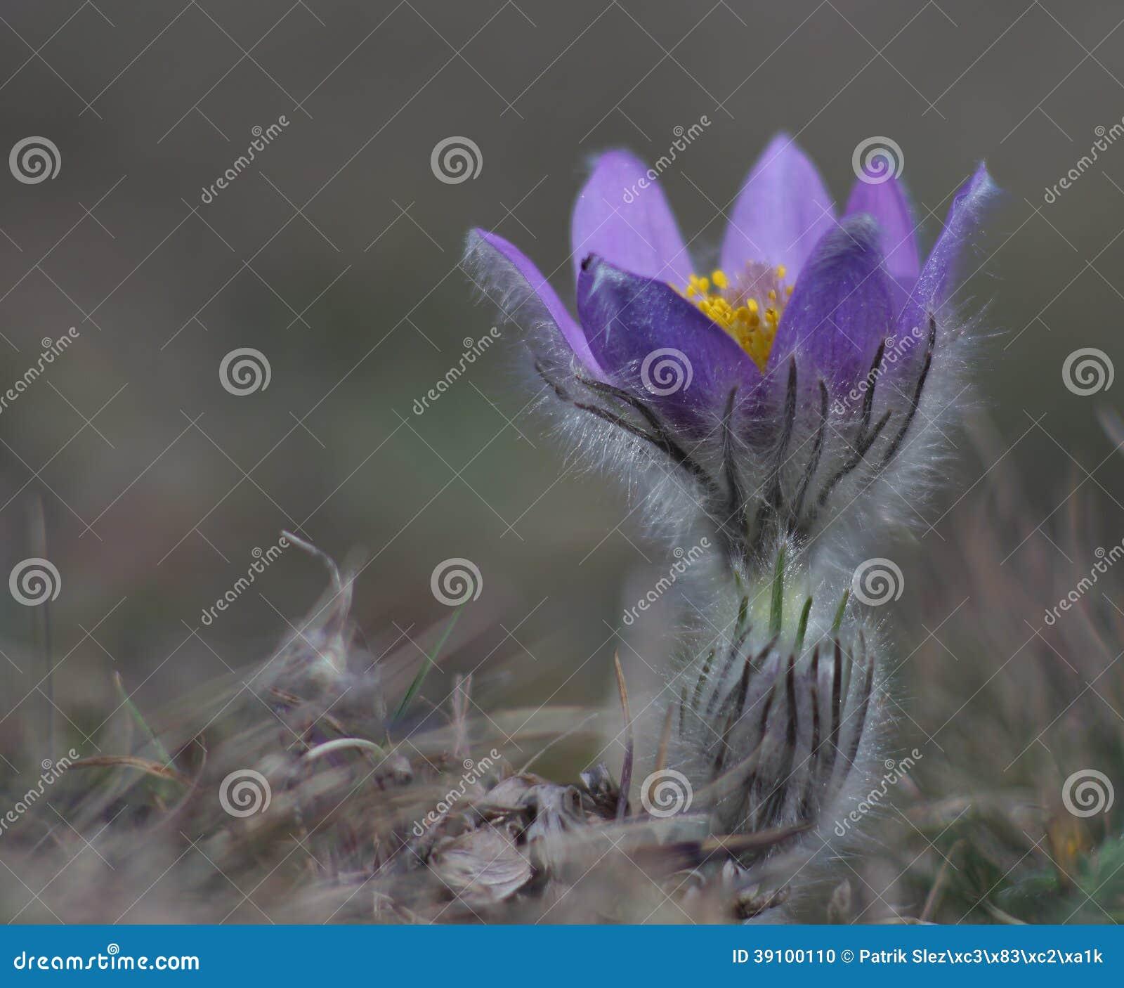De lentebloem