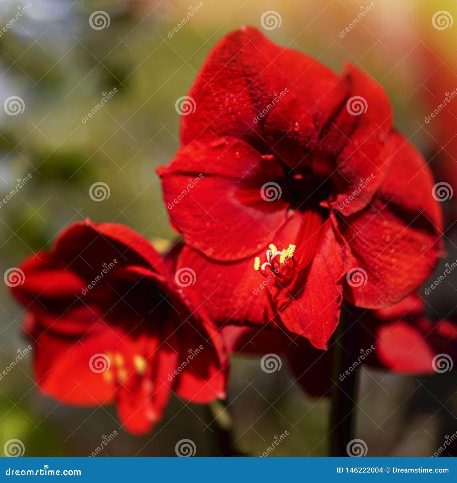 De lentebloem in rood