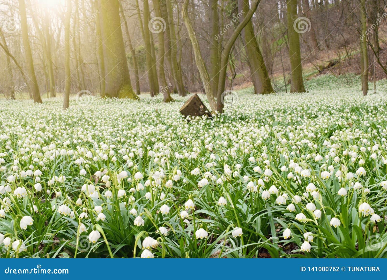 De lentebloemen in ochtend licht, bloeiend bos