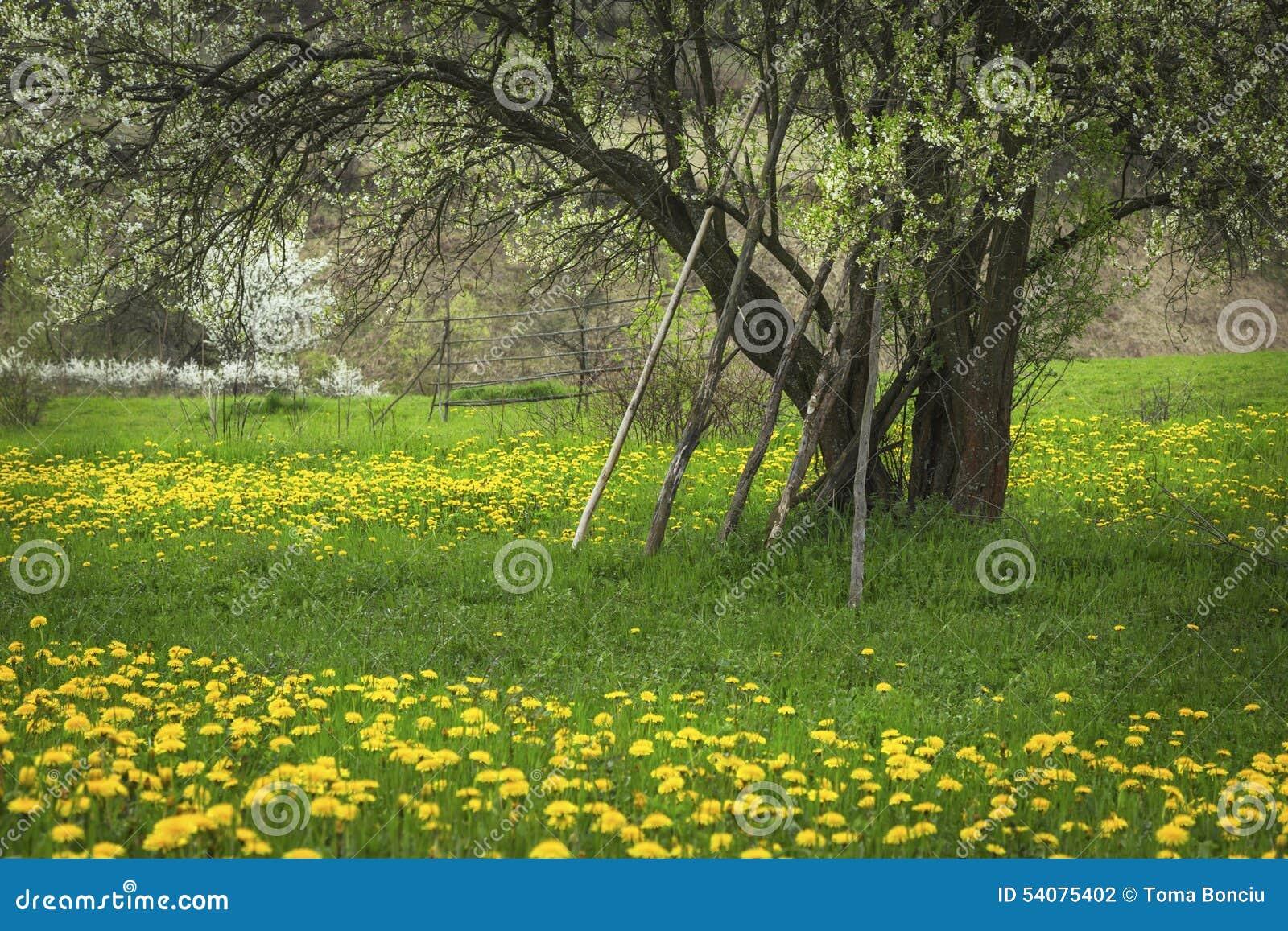 De lentebloemen van de paardebloem field
