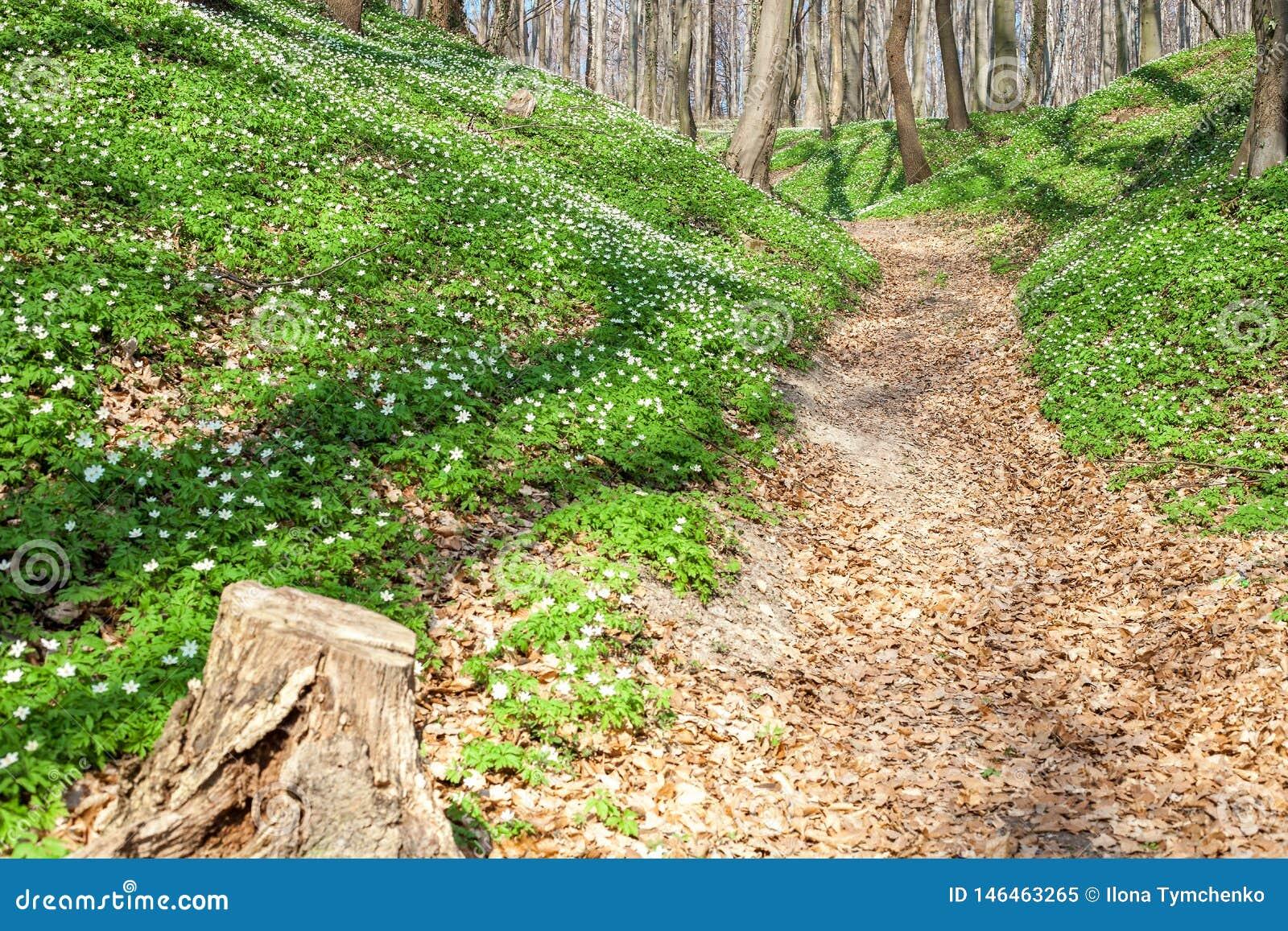 De lentelandschap met bosvoetpad en witte wilde bloemen houten anemoon