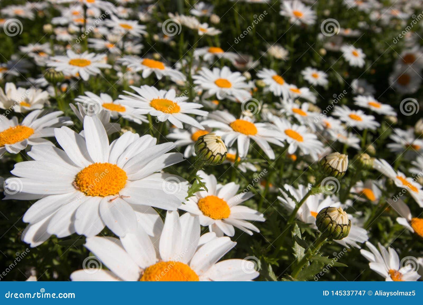 De lentetijd in Istanboel April 2019, Leuke Daisy Flowers, Daisy Field