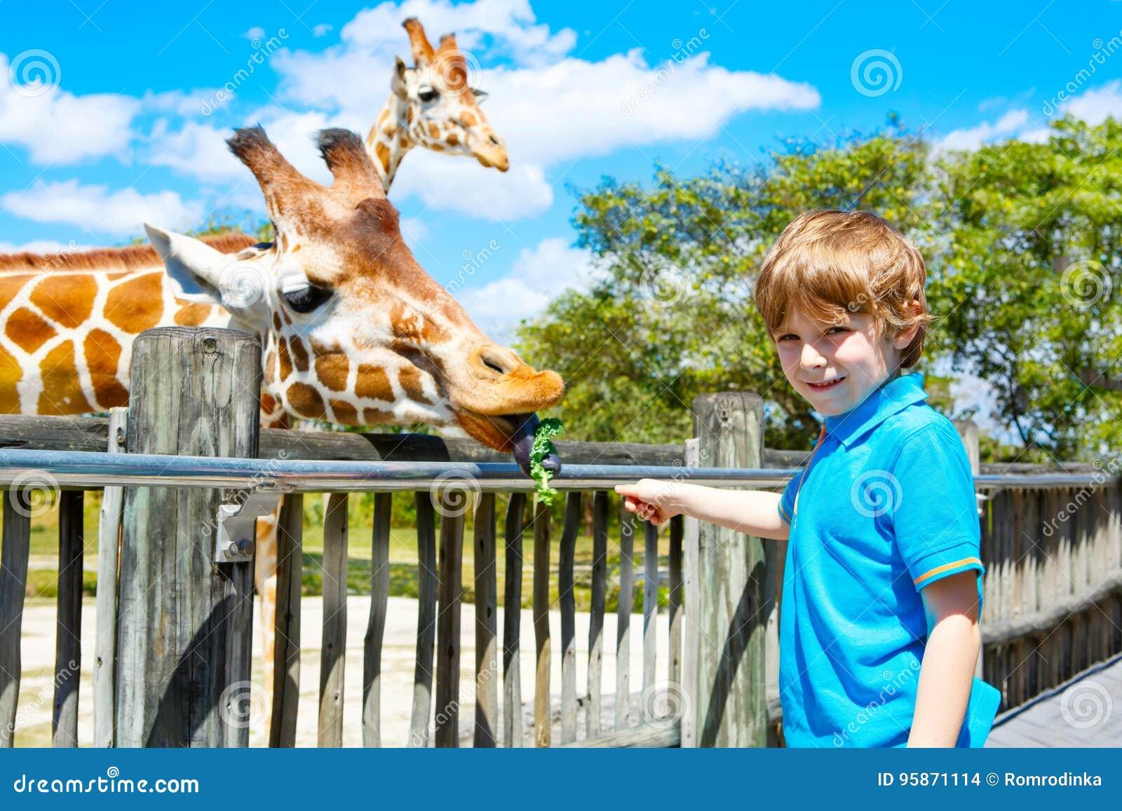 De lettende op en voedende giraf van weinig jong geitjejongen in dierentuin