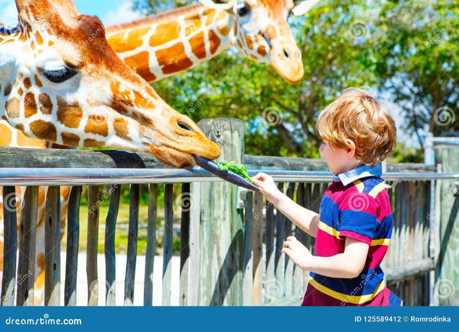 De lettende op en voedende giraf van weinig jong geitjejongen in dierentuin Gelukkig kind die pret met het park van de dierensafa