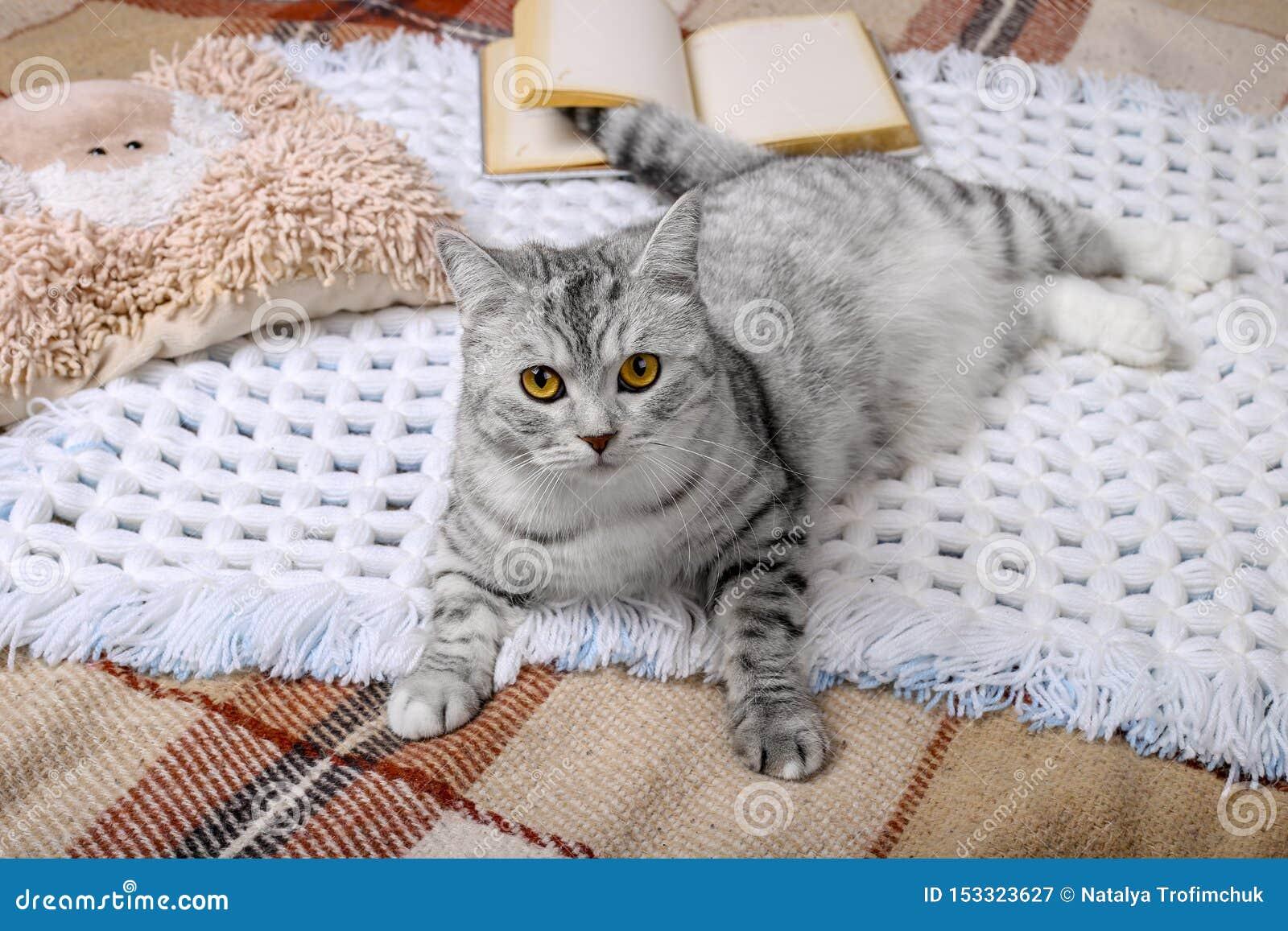 De leuke gestreepte katkat slaapt in het bed op warme deken Koud de herfst of de winterweekend terwijl het lezen van een boek en