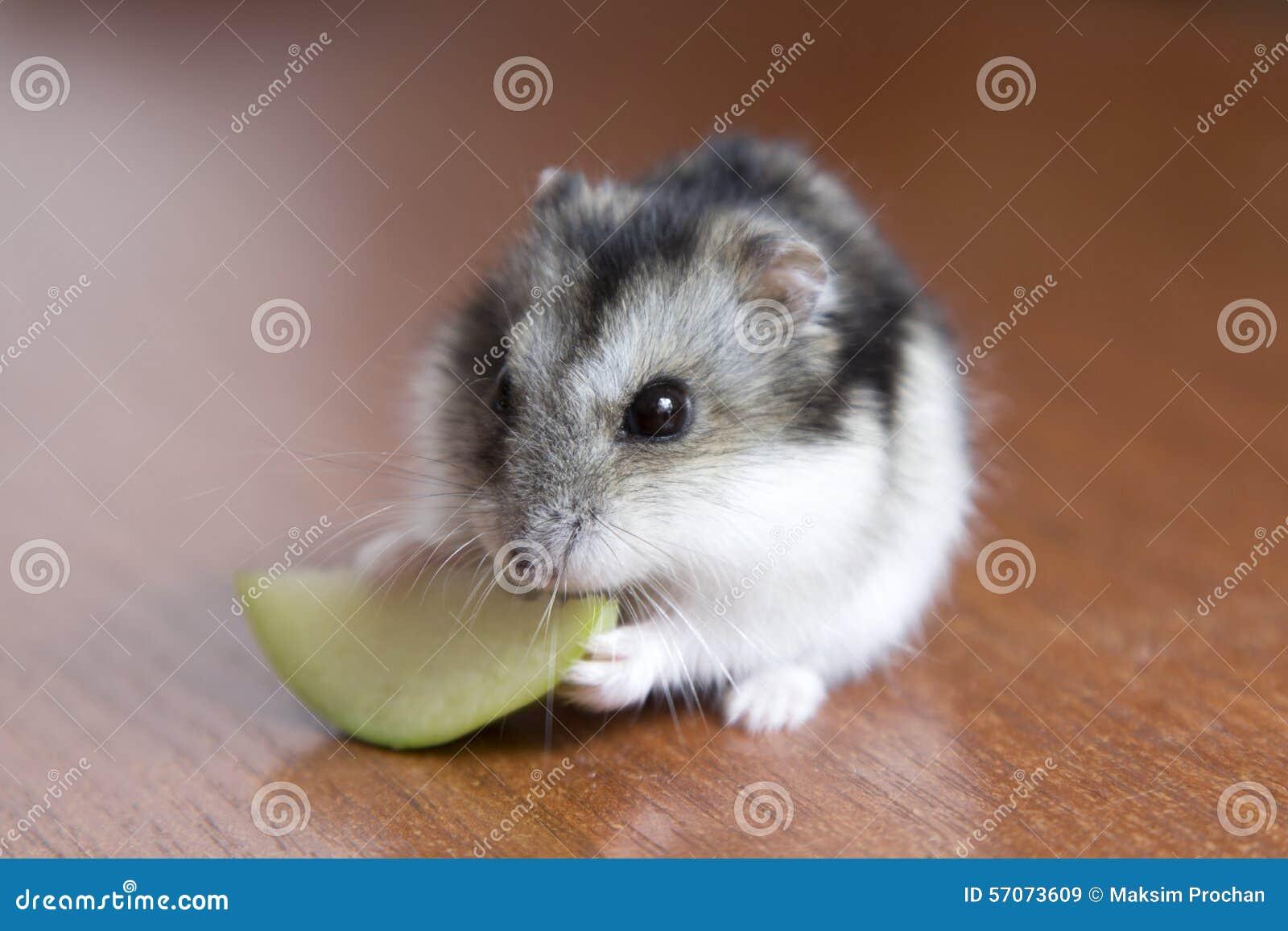 De leuke hamster eet appel