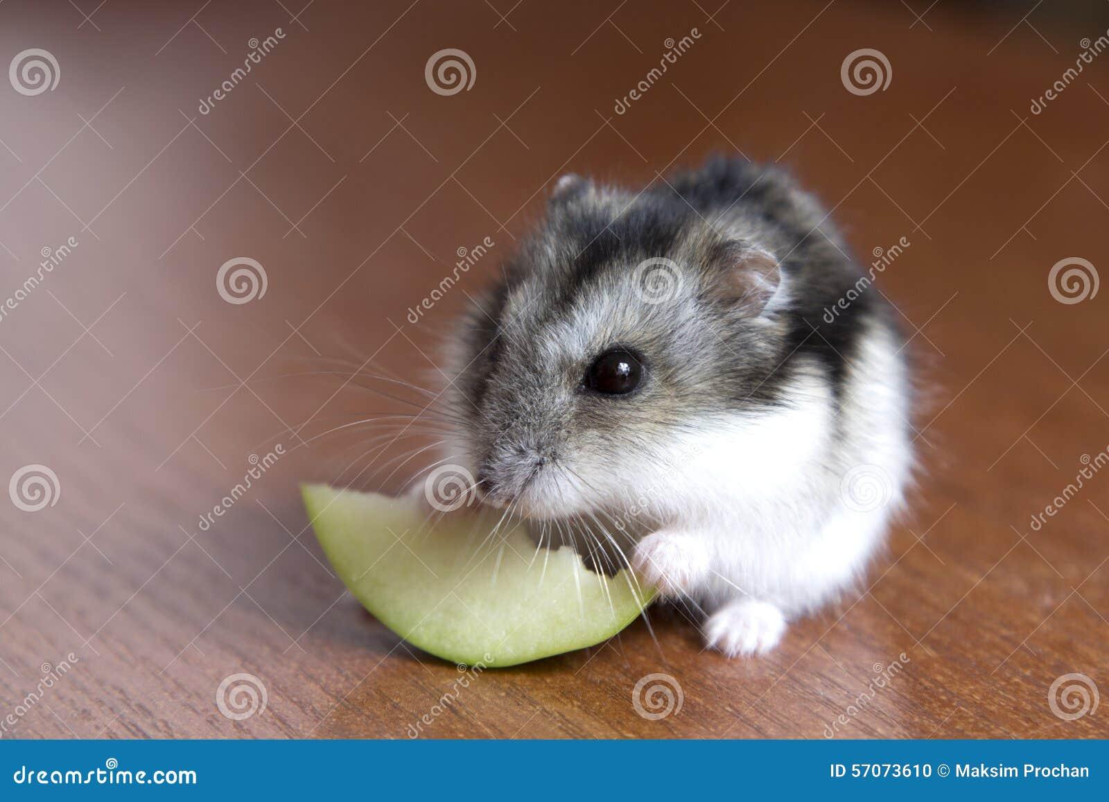 De leuke hamster eet een plak van appel