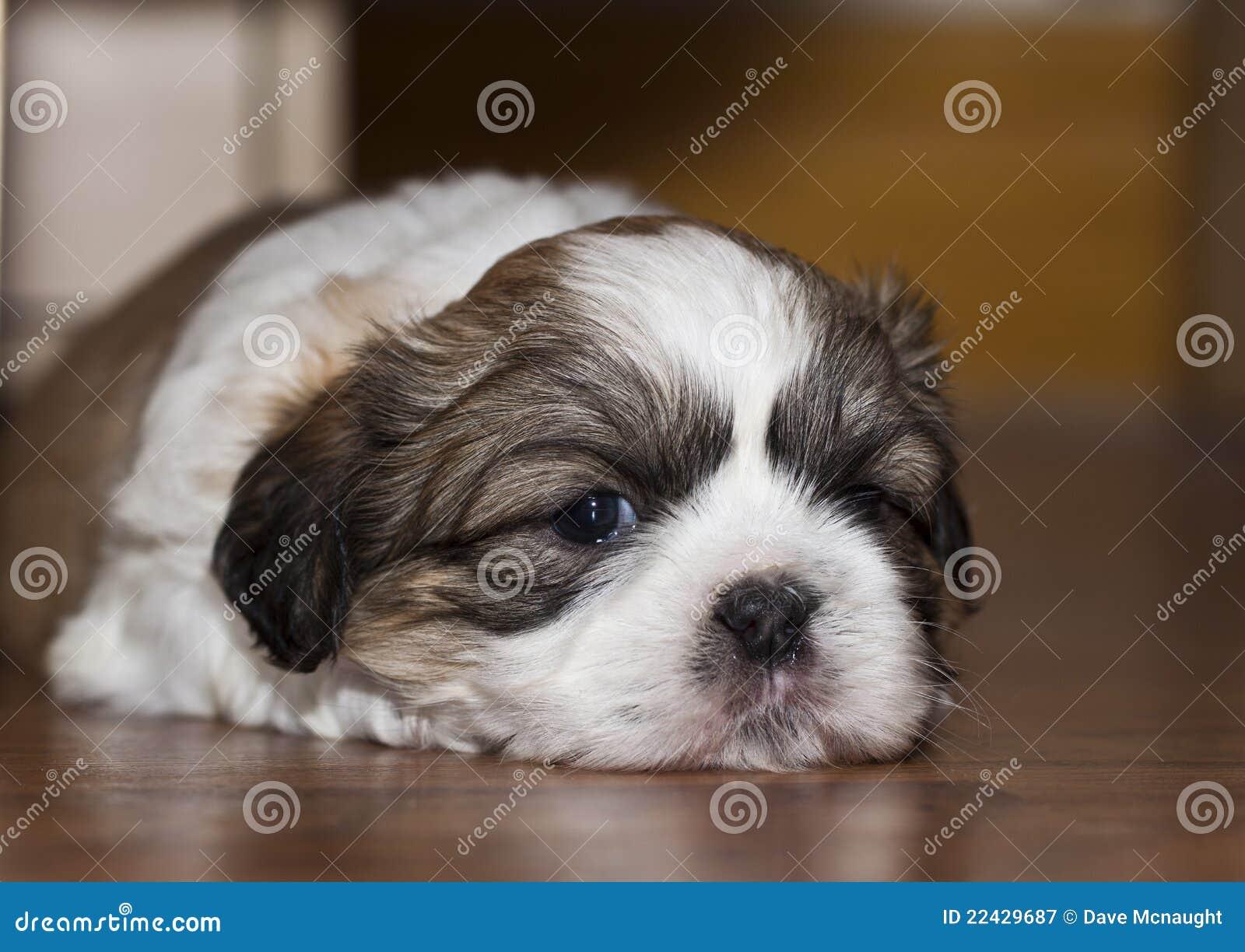De leuke hond van shihtzu