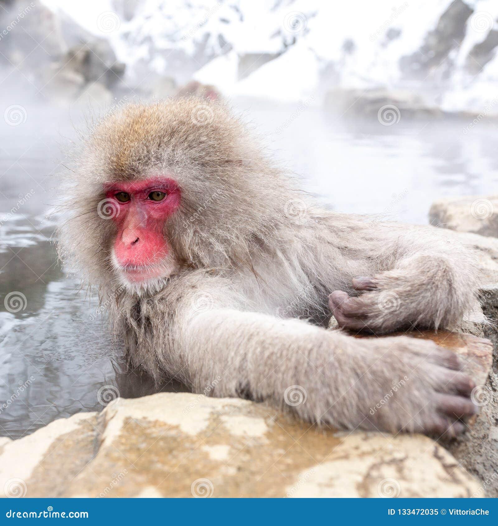 De leuke Japanse zitting van de sneeuwaap in de hete lente De Prefectuur van Nagano, Japan