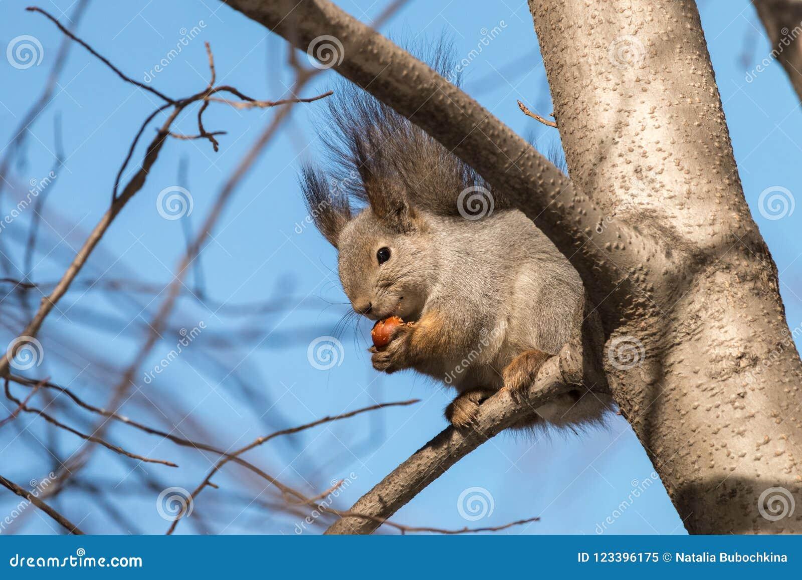 De leuke pluizige eekhoorn eet hazelnootzitting op tak met duidelijke blauwe hemel op achtergrond