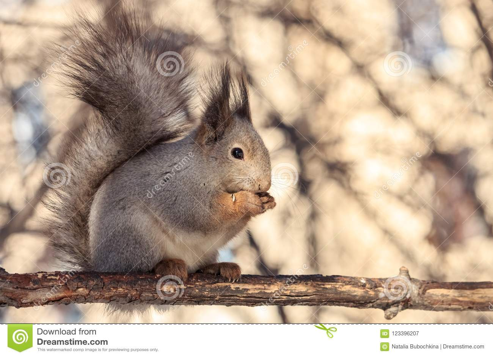 De leuke pluizige eekhoornzitting op tak en het eten van zonnebloemzaden met licht vertroebelden achtergrond