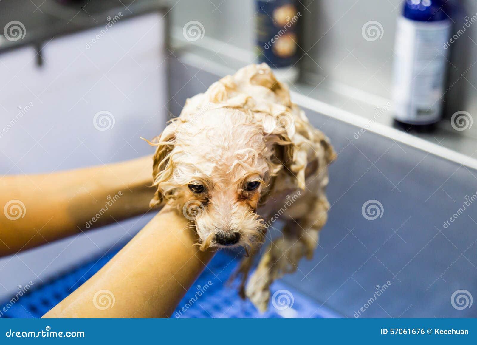 De leuke uiterst kleine hond die van het poedelpuppy op een badbassin worden overgoten