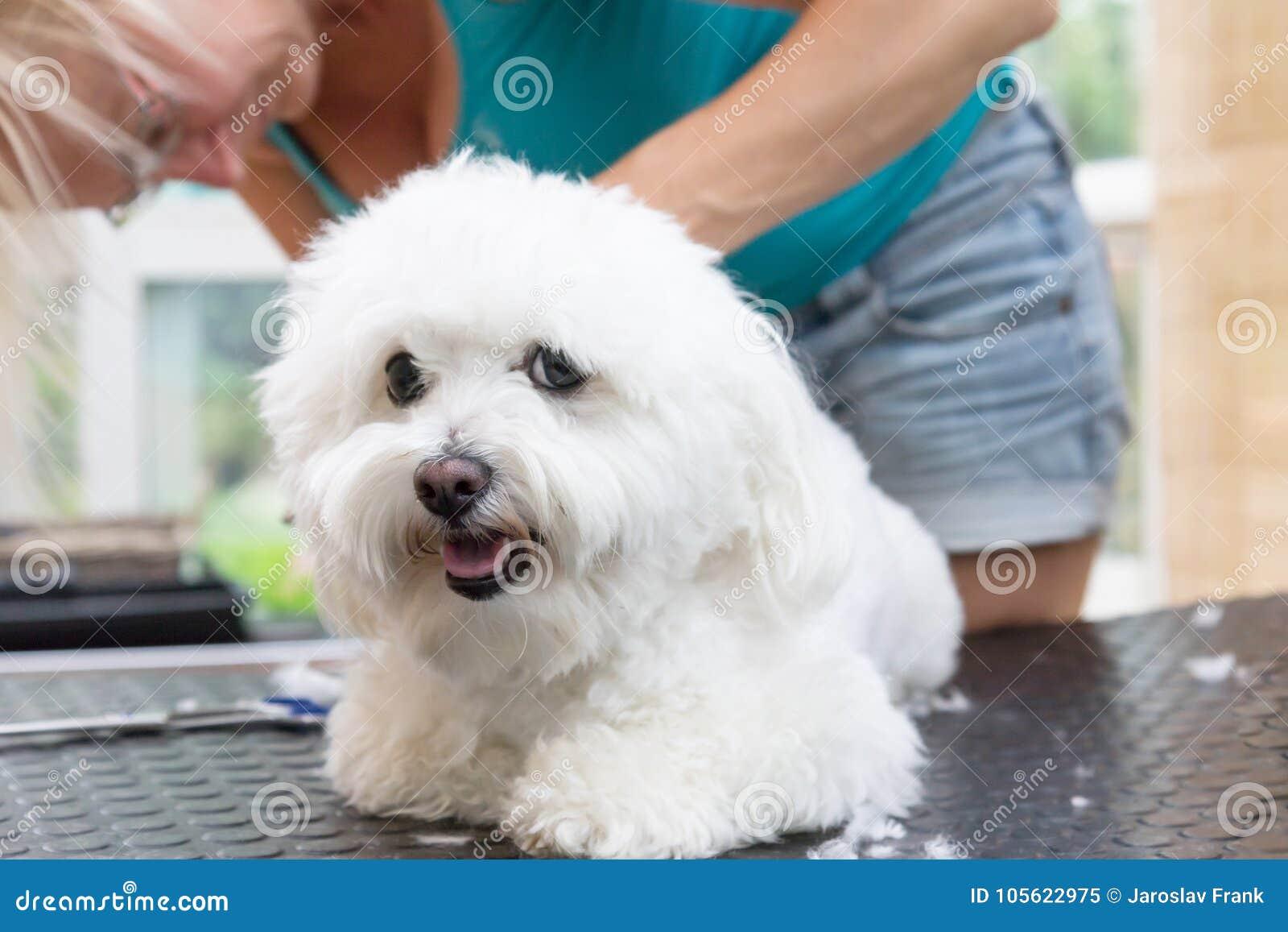 De leuke witte Bolognese hond is verzorgd liggend op de lijst