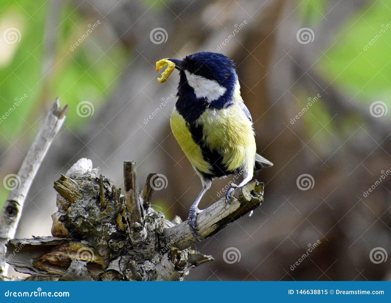 De leveringsvoer van het vogelkuiken aan de kuikens in het nest