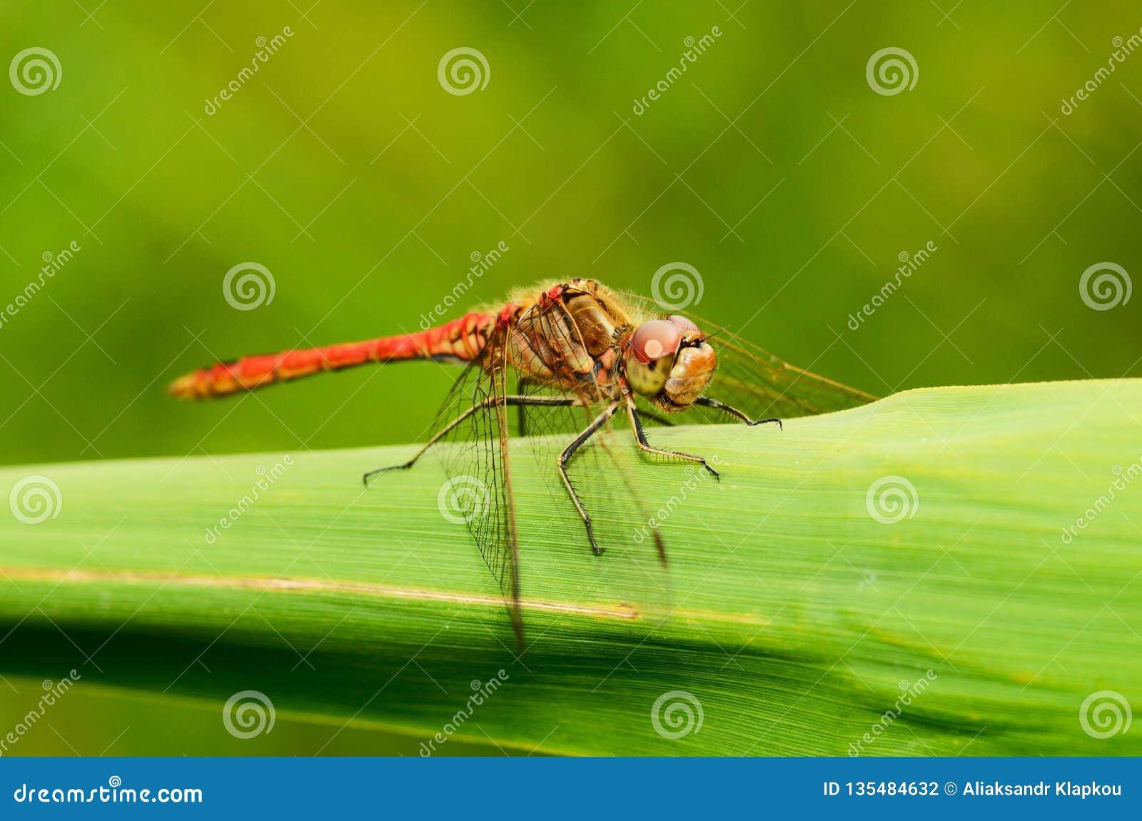 De libel is een insect levend dichtbij waterorganismen