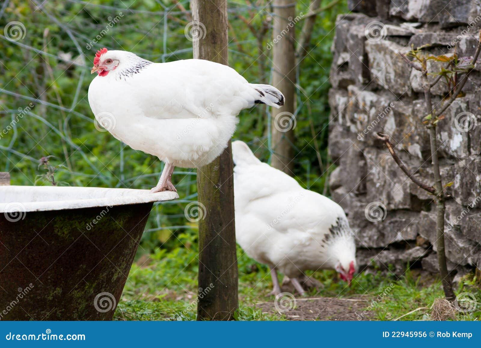 De lichte kippen van sussex die op de oude ton van het bad worden neergestreken stock foto for Foto in het bad