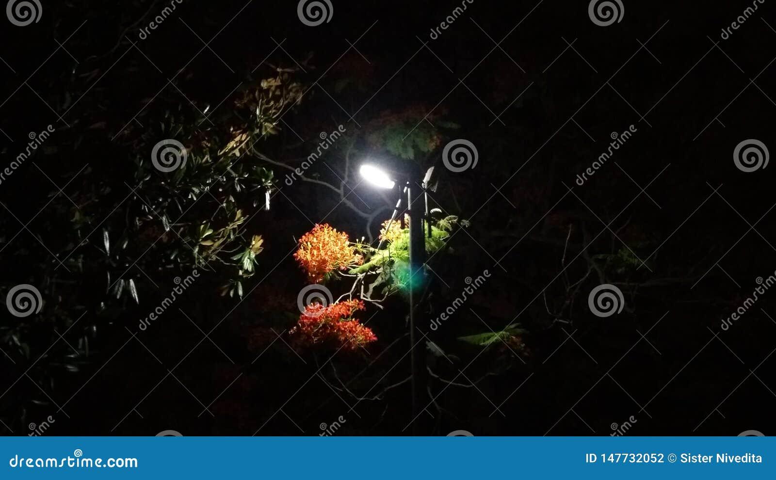 De Lichtrode Zwarte van de bloemnacht
