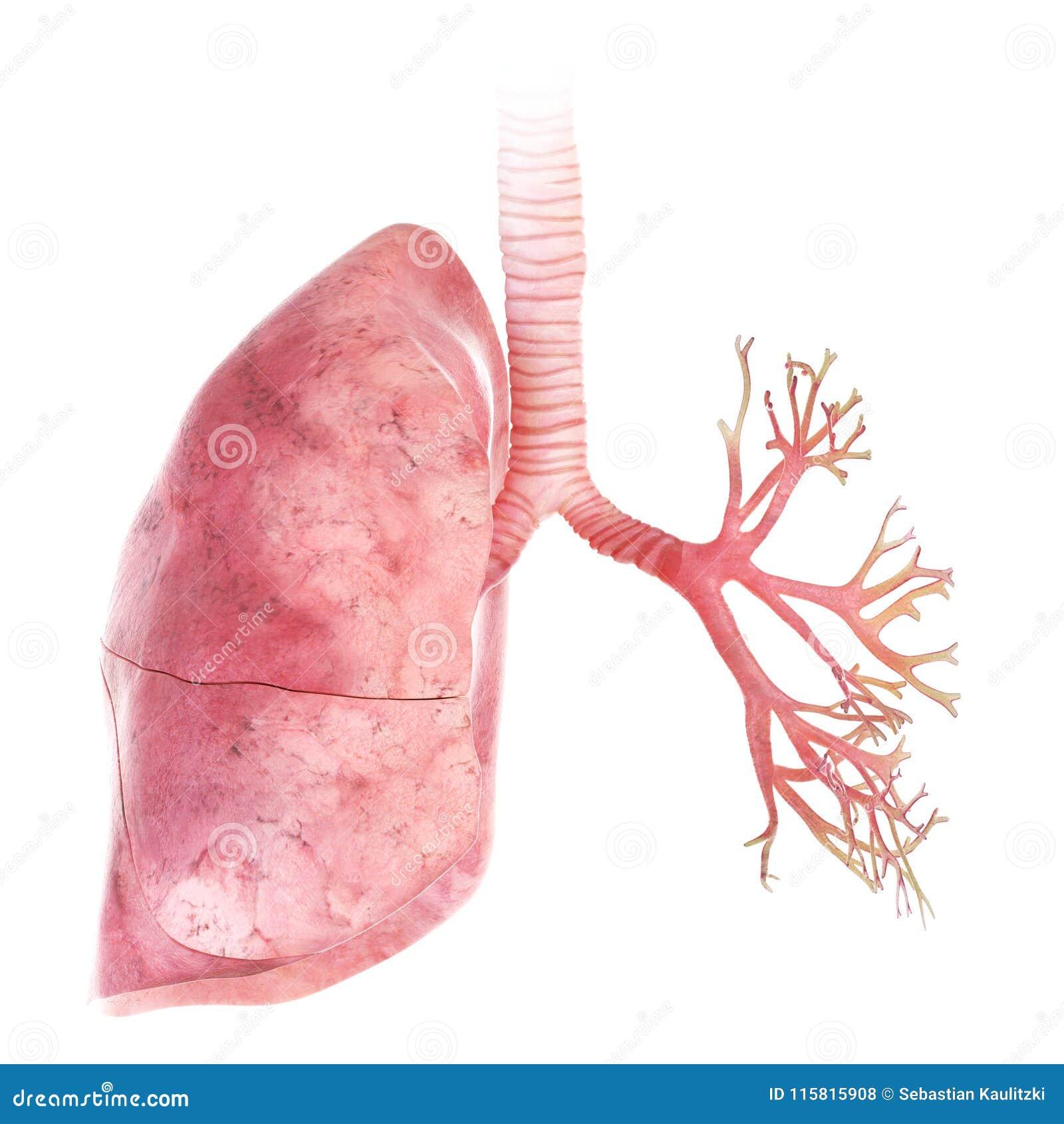 De long en de bronchiën