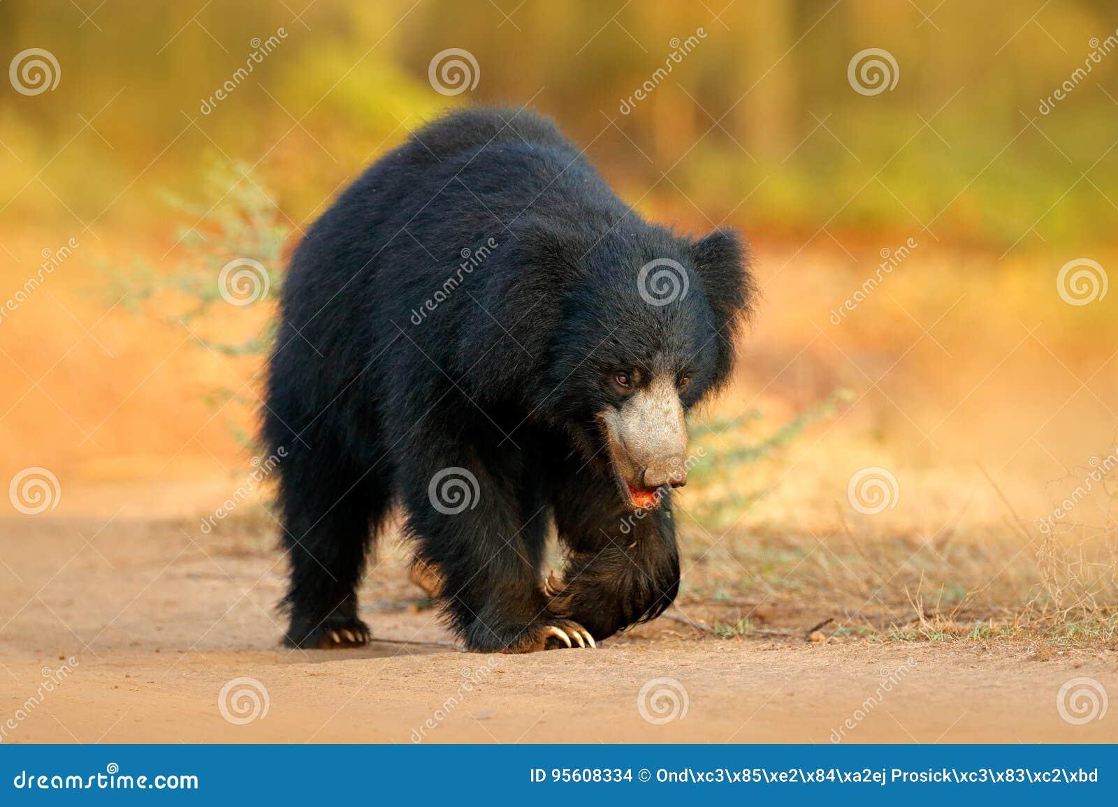De luiaard draagt, Melursus-ursinus, het Nationale Park van Ranthambore, India De wilde Luiaard draagt starend direct bij camera,