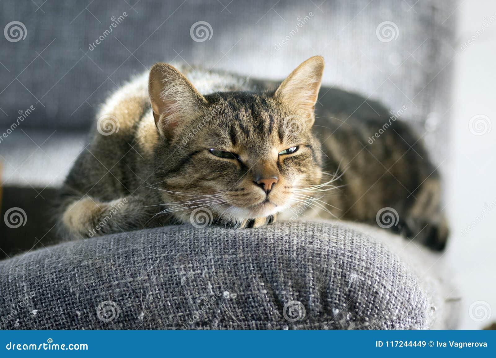 De luie slaperige marmeren gestreepte kat, portret van het boring van binnenlandse gestreepte kat ligt op grijze bank