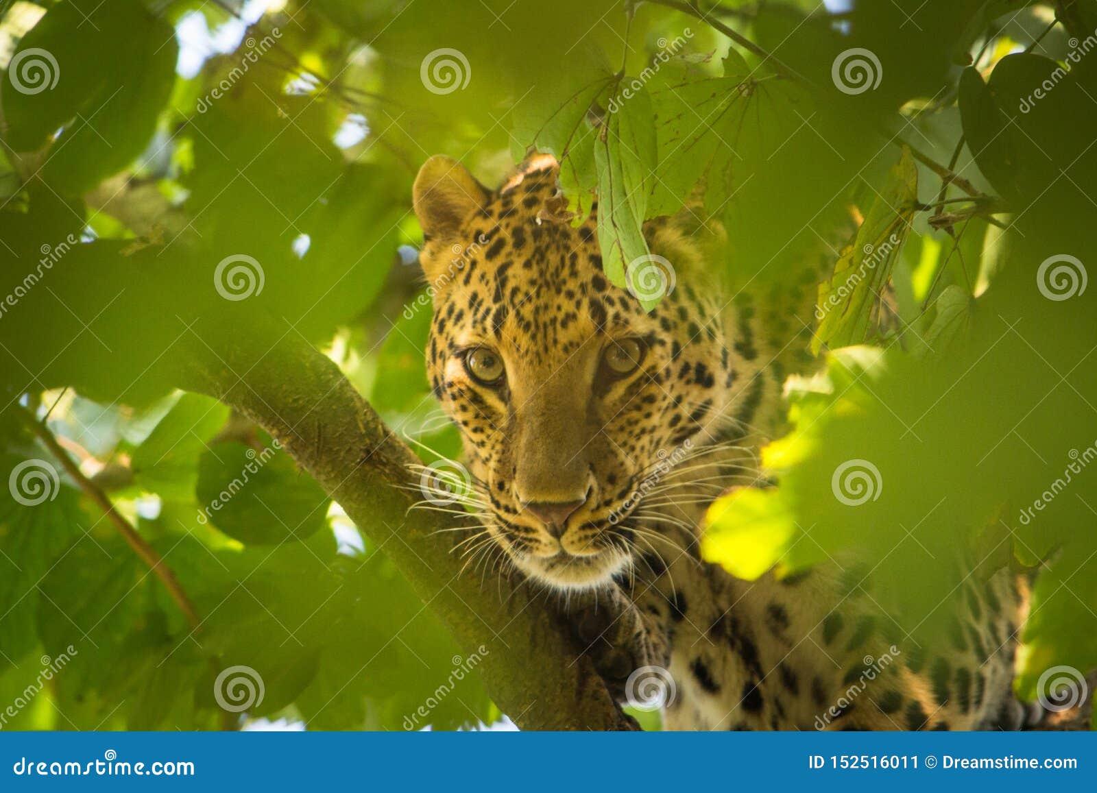 De luipaard die door bladeren piepen en heeft Mooie en scherpe ogen