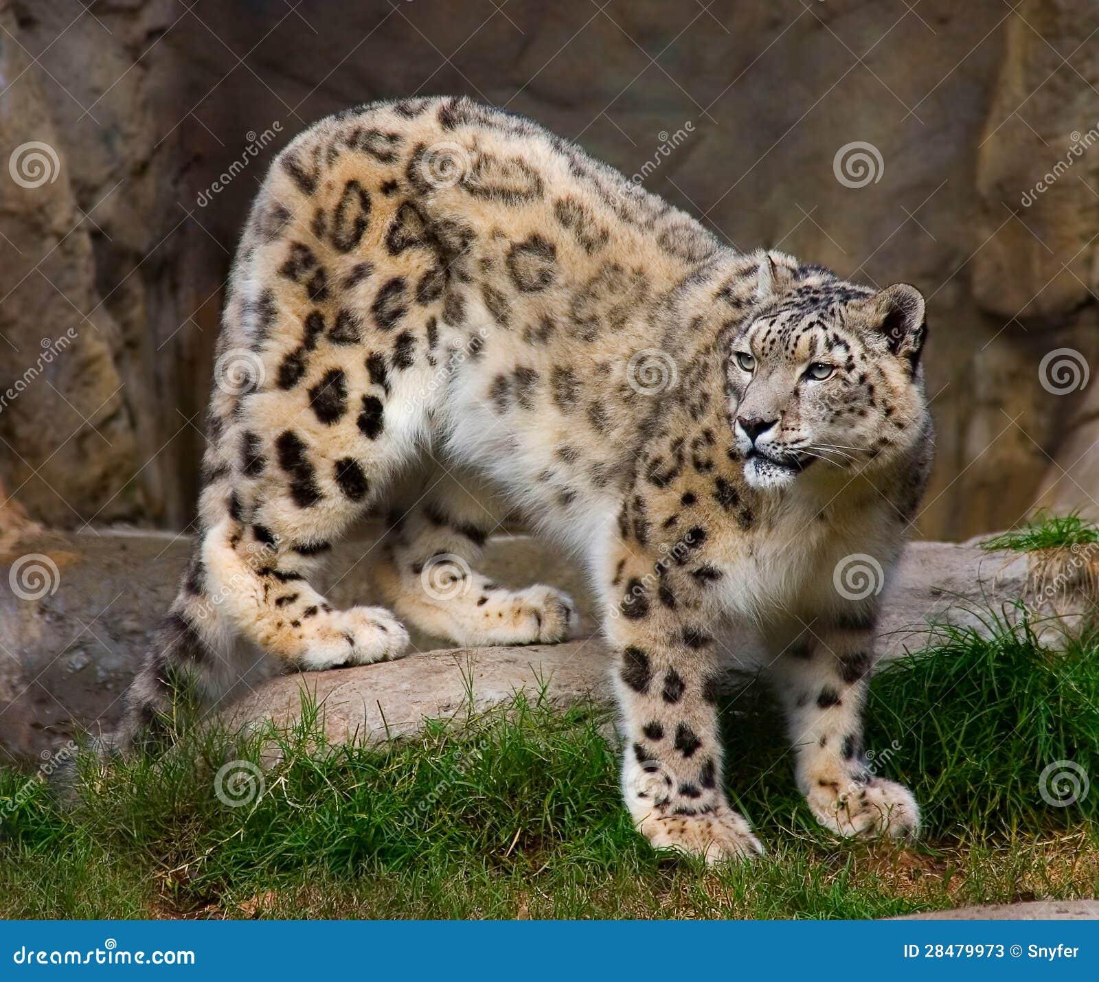 De luipaard van de sneeuw in gevangenschap