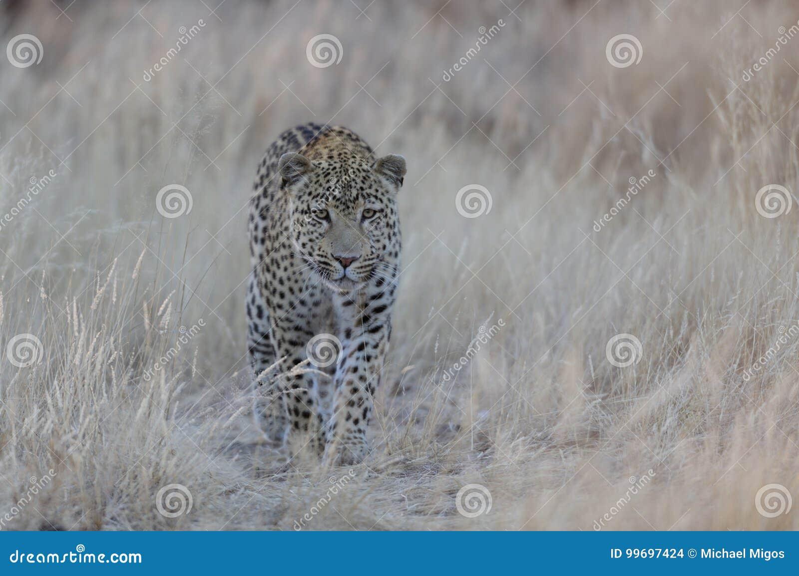 De luipaard zoekt vangst, Namibië