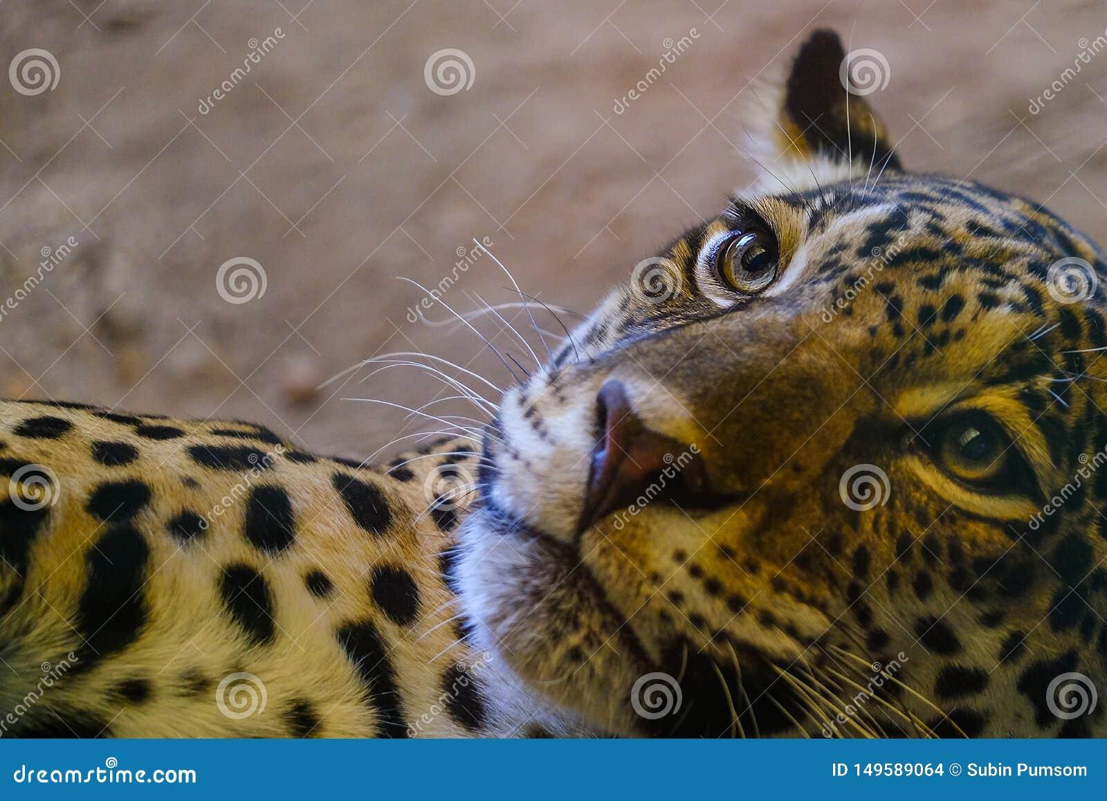 De luipaardogen zien eruit