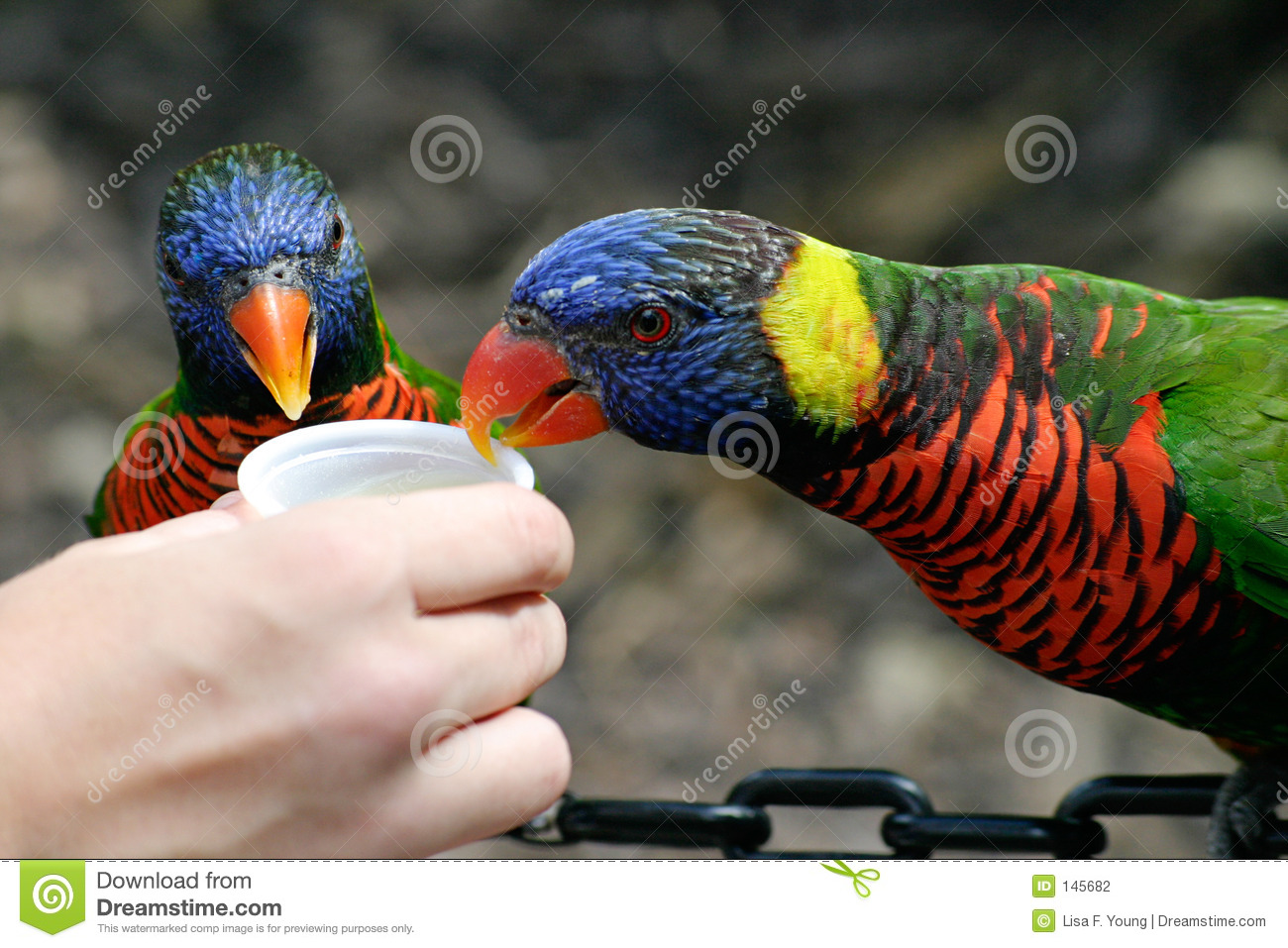 De Lunch van Lorikeet