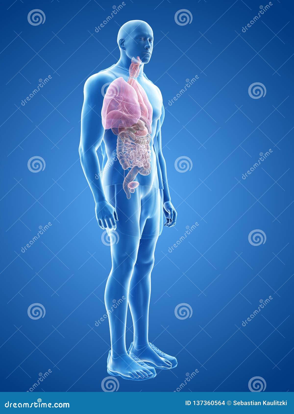 De mänskliga organen