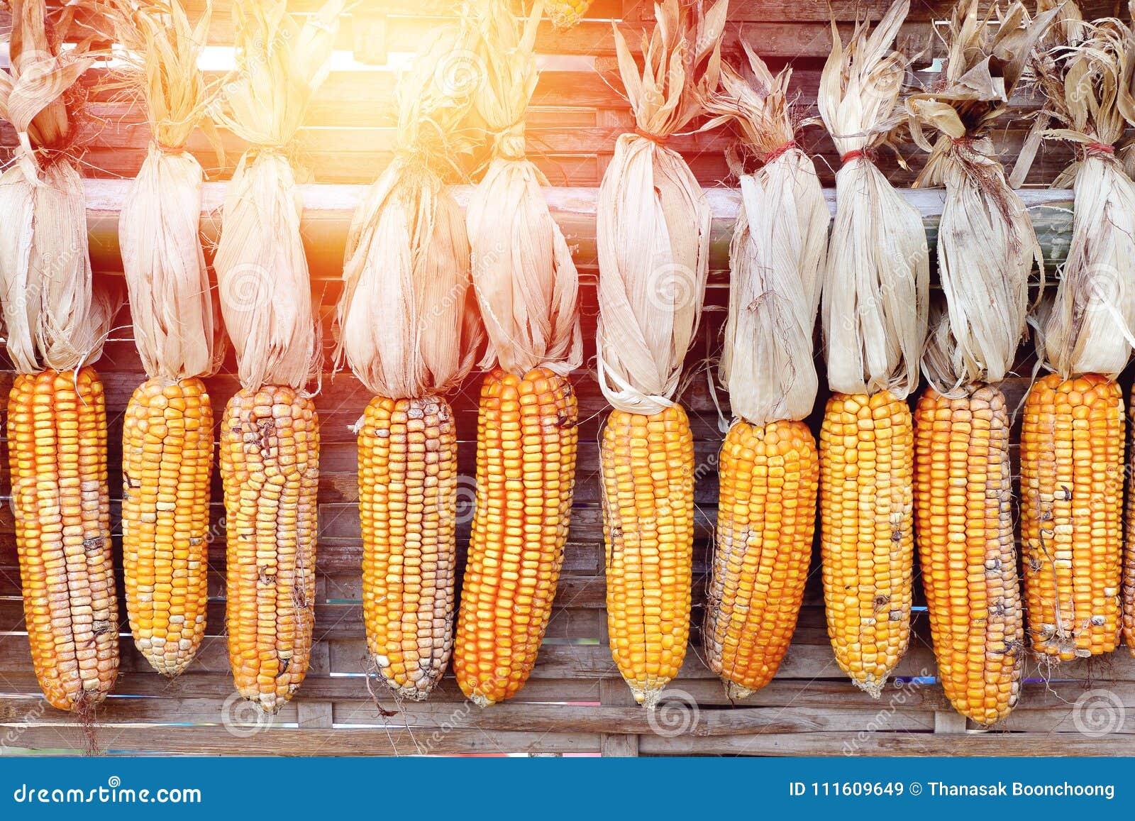 De maïs voor het fokken hangt omhoog voor het drogen met zonlicht