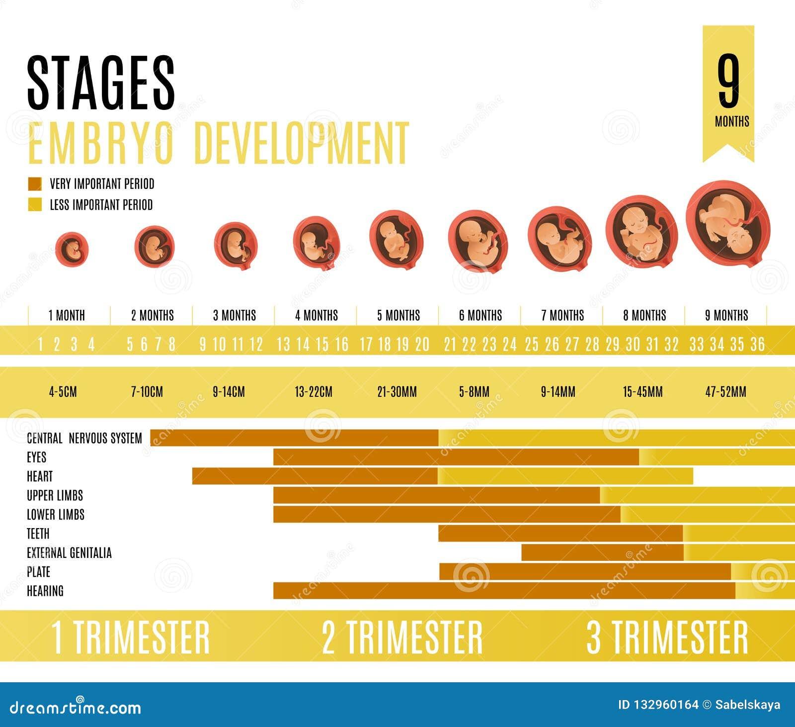 De maand en de trimesterstadia vectorillustratie van de embryoontwikkeling