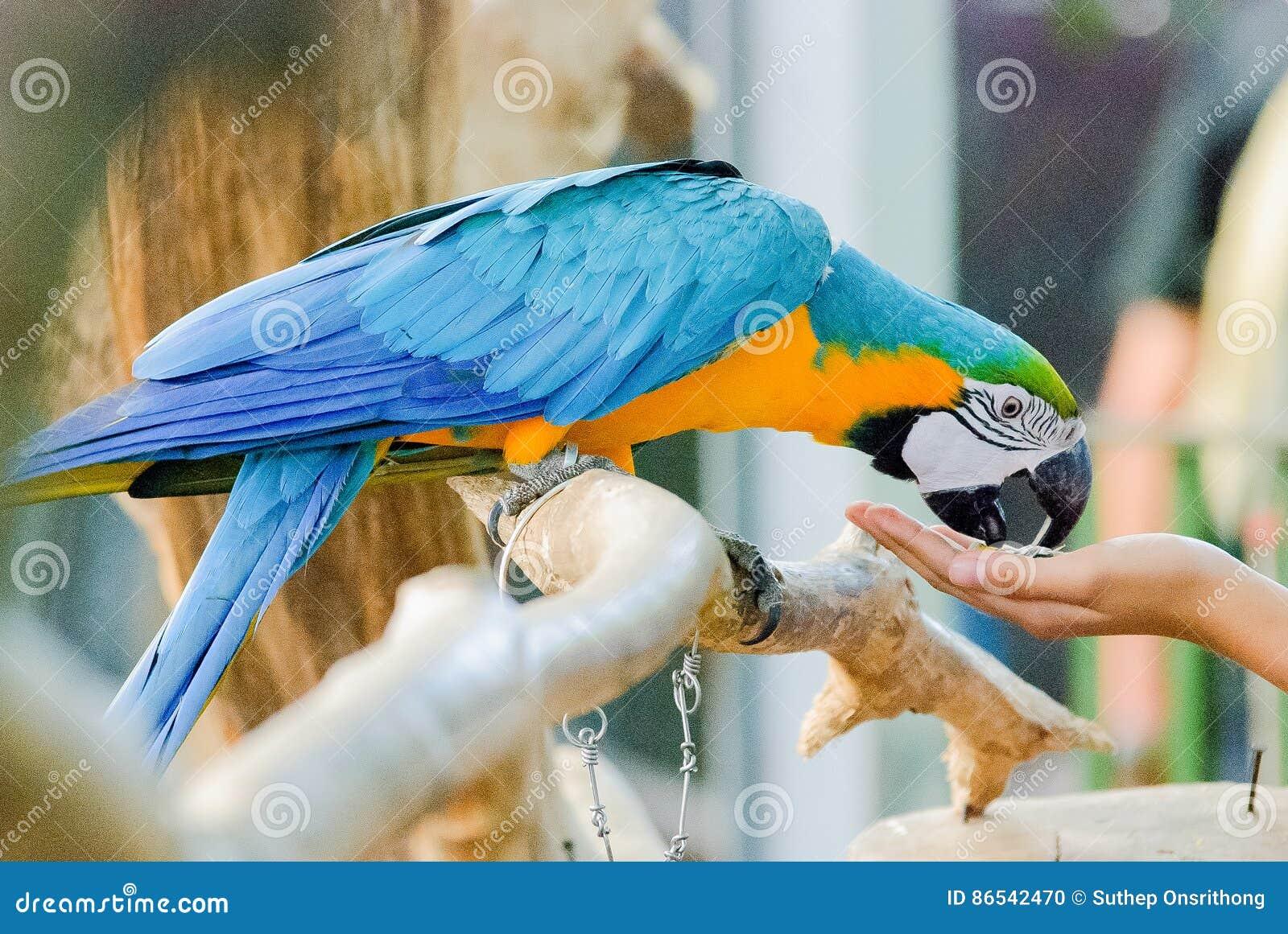 De Macorevogel eet voedsel