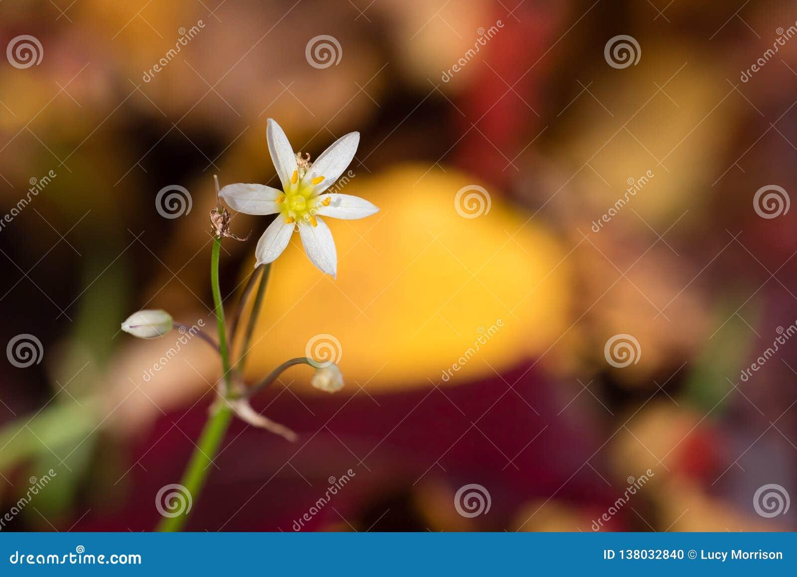 De macro Uiterst kleine Witte Kleuren van Wildflower en van de Daling