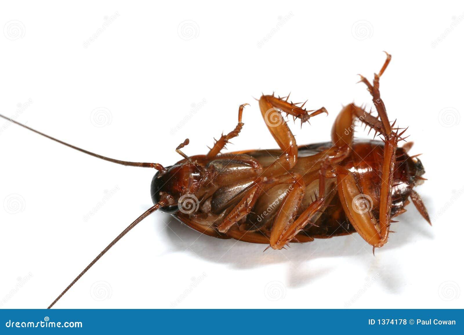 De macro van de kakkerlak