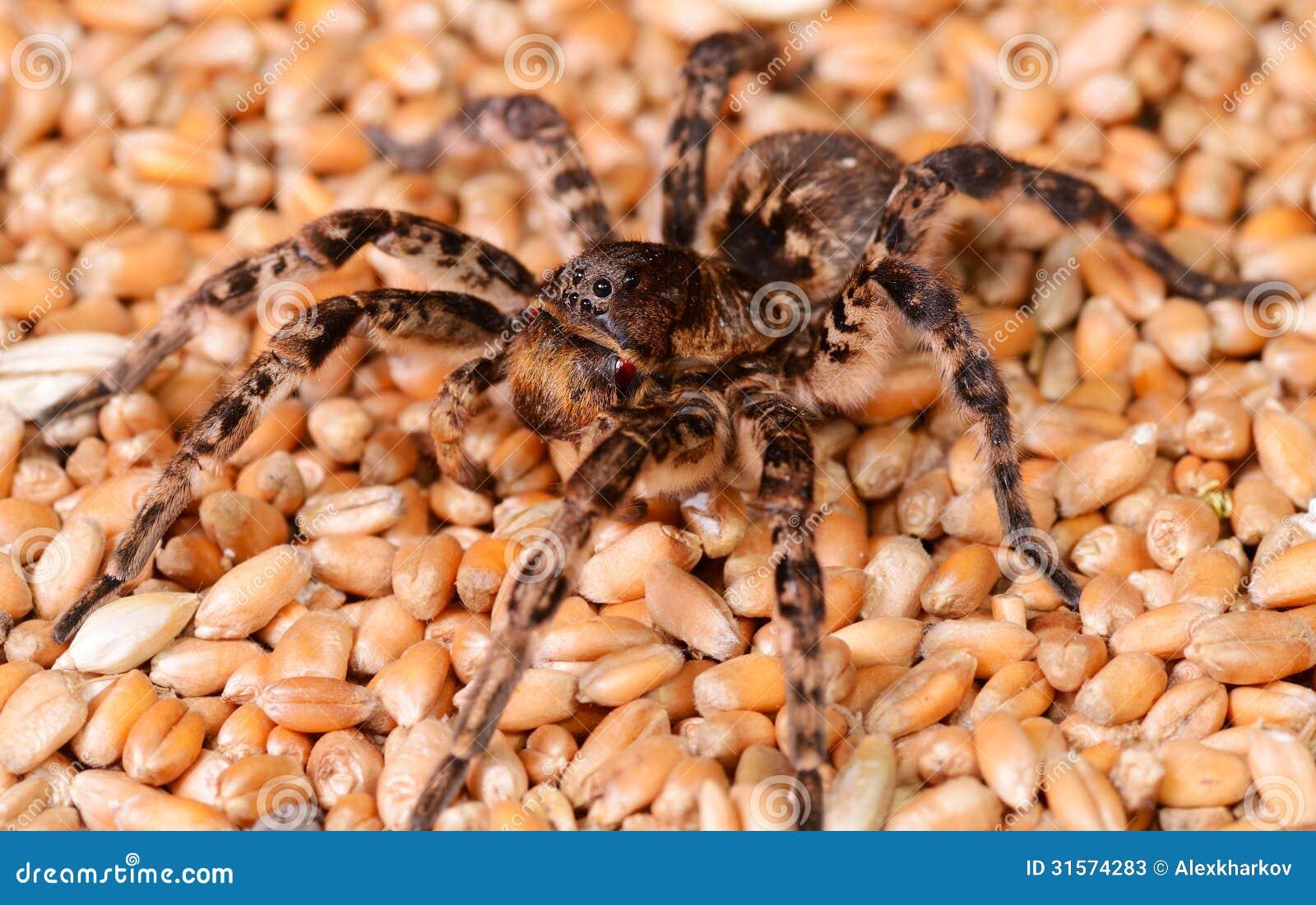 De macro van de tarantulaspin