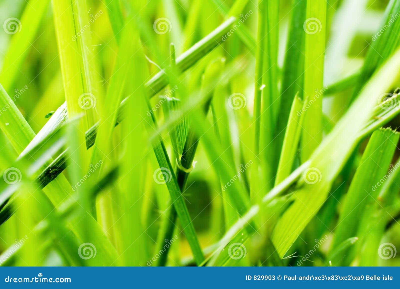 De macro van het gras