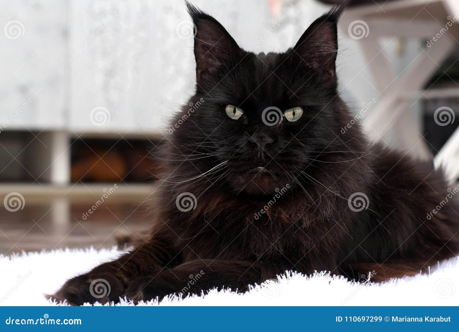 De Maine Coon-kat Leef aard