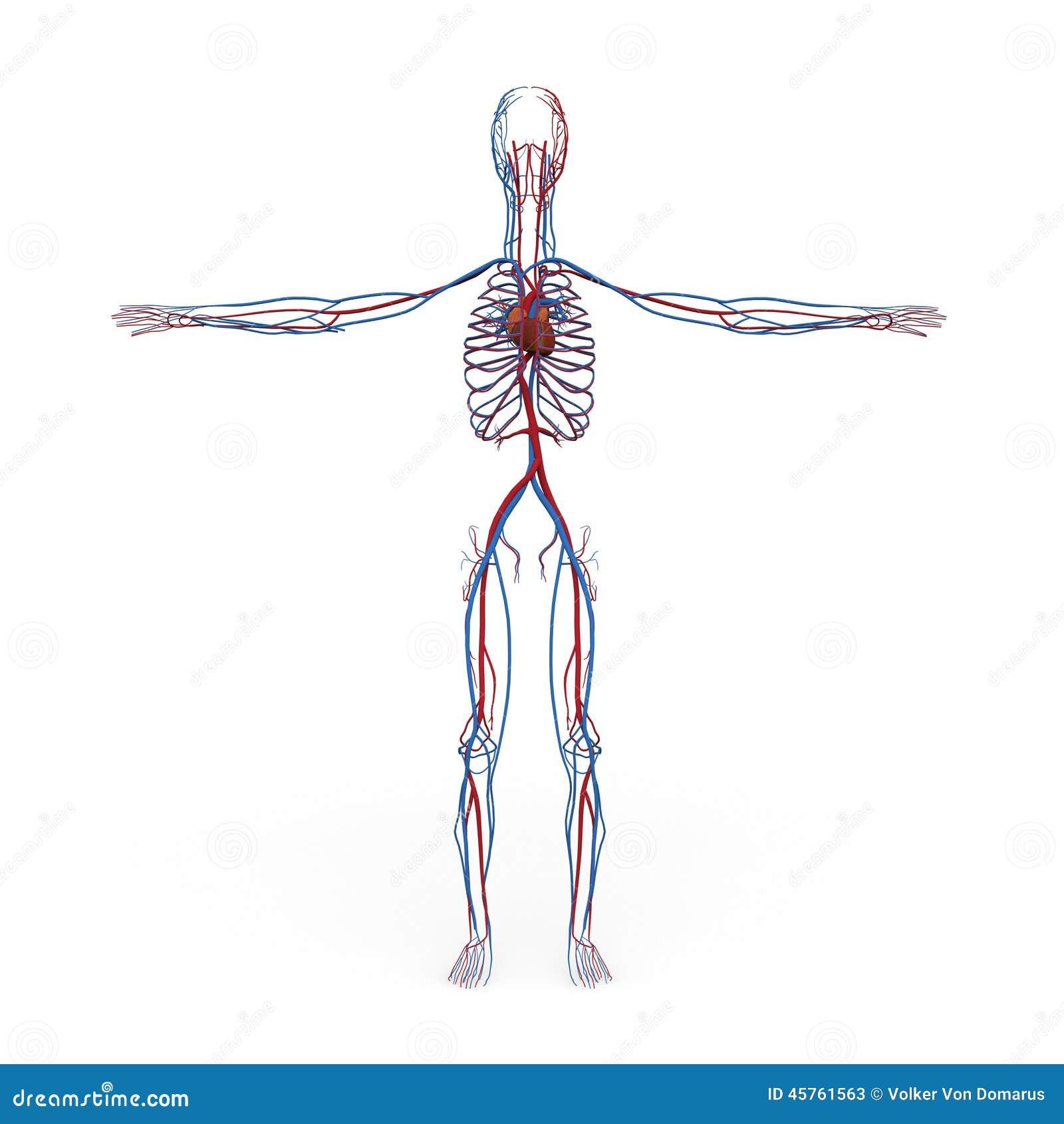 De mannelijke Aders Van de bloedsomloop Ateries van het Anatomiehart