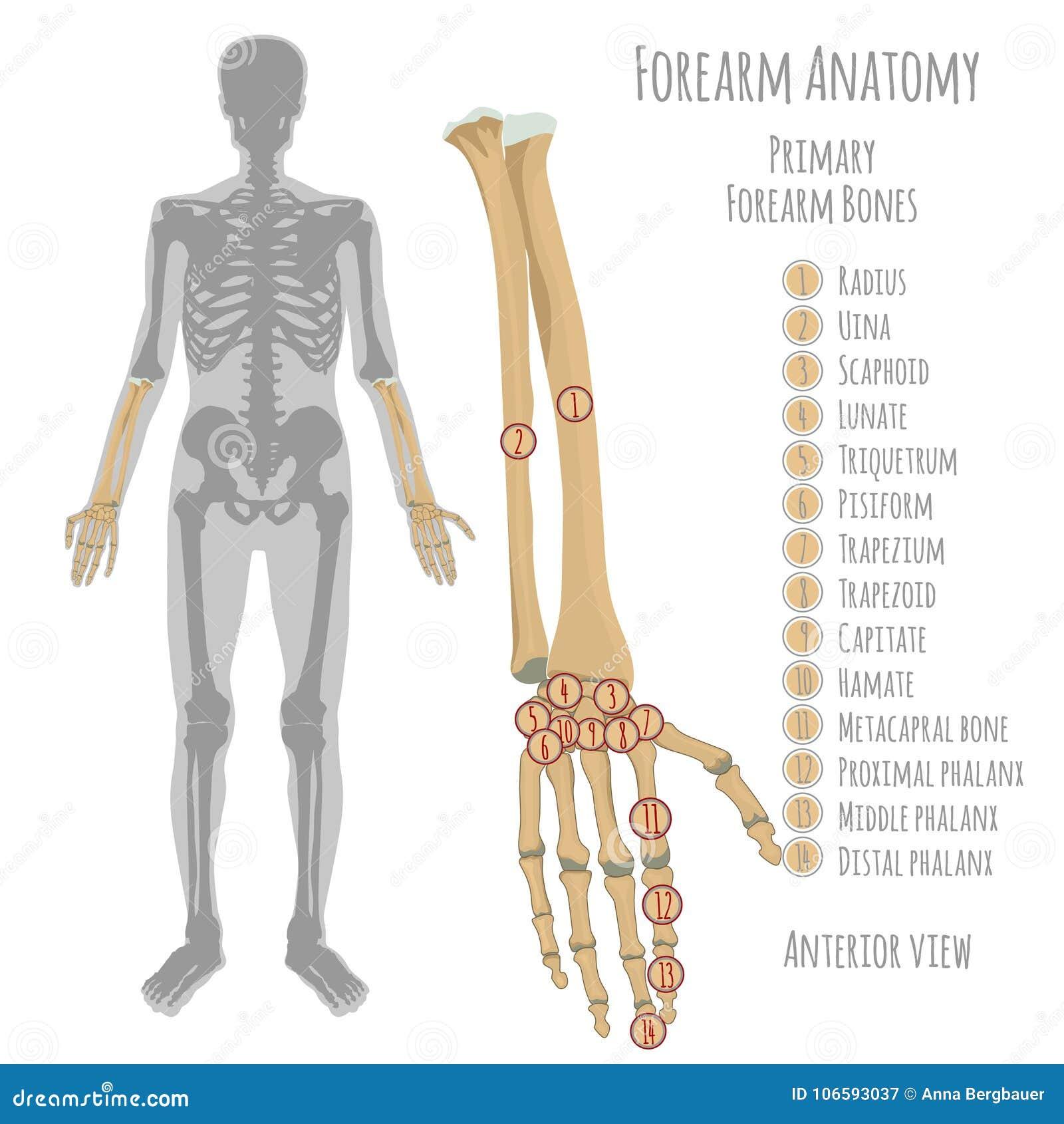 De mannelijke anatomie van voorarmbeenderen
