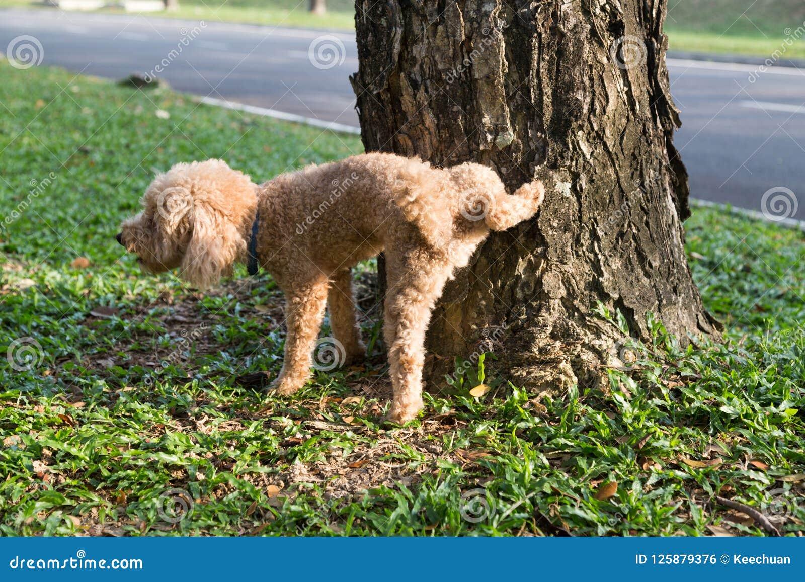 De mannelijke poedel die plast op boomboomstam aan tekengrondgebied urineren