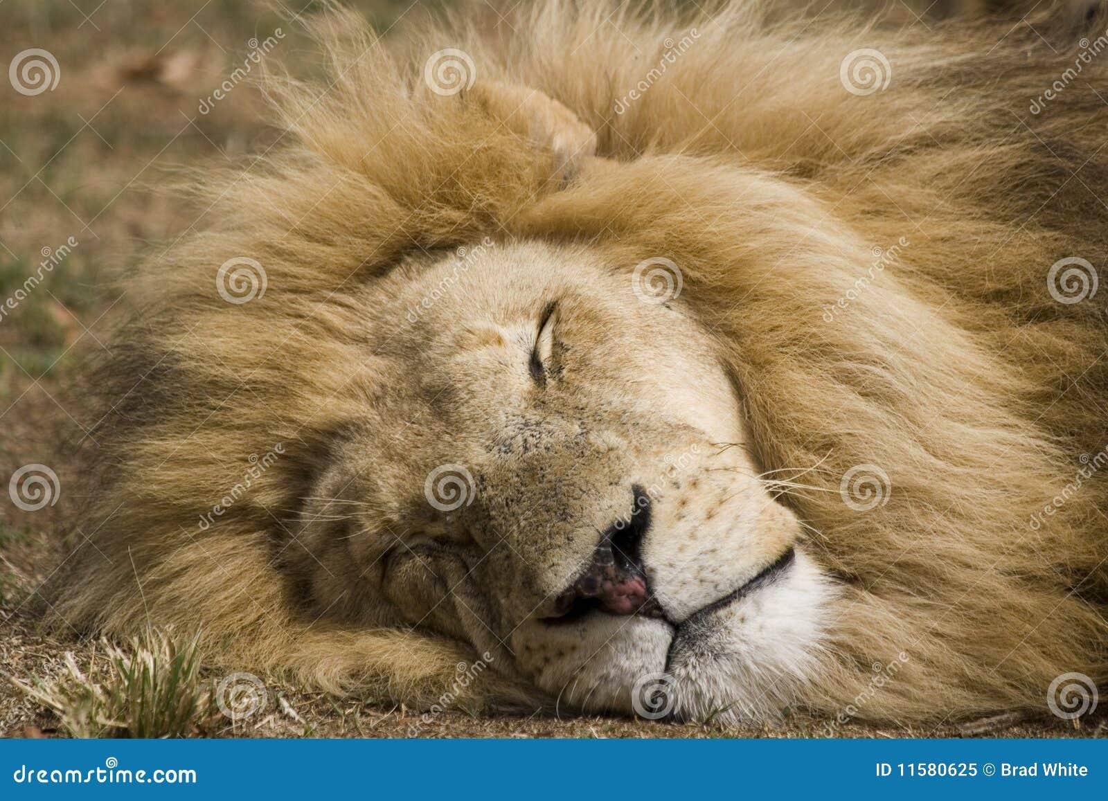 De mannelijke Slaap van de Leeuw
