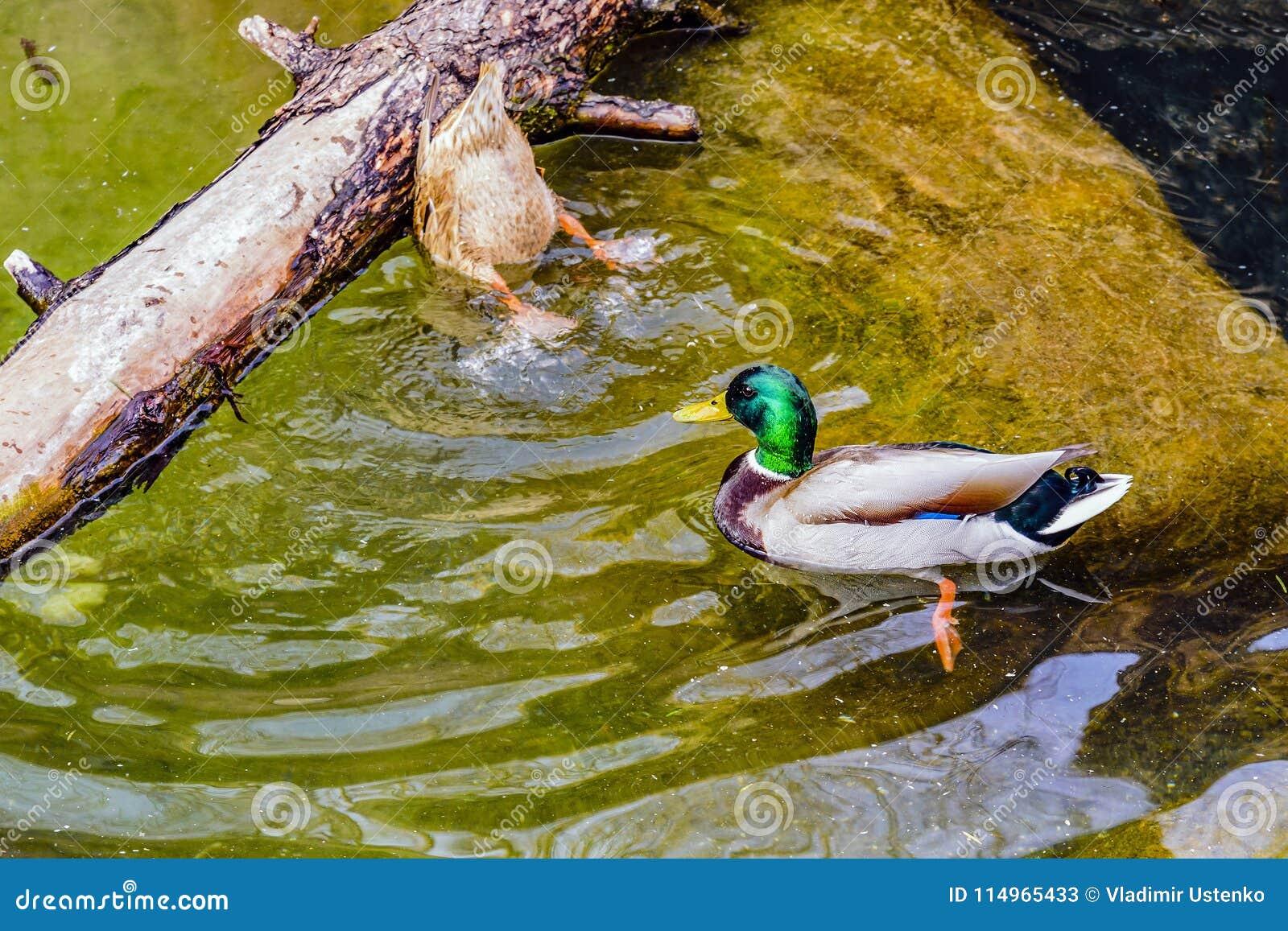 De mannetjeseend en de eendwilde eend op het water in de de lentevijver halen voedsel bij de bodem