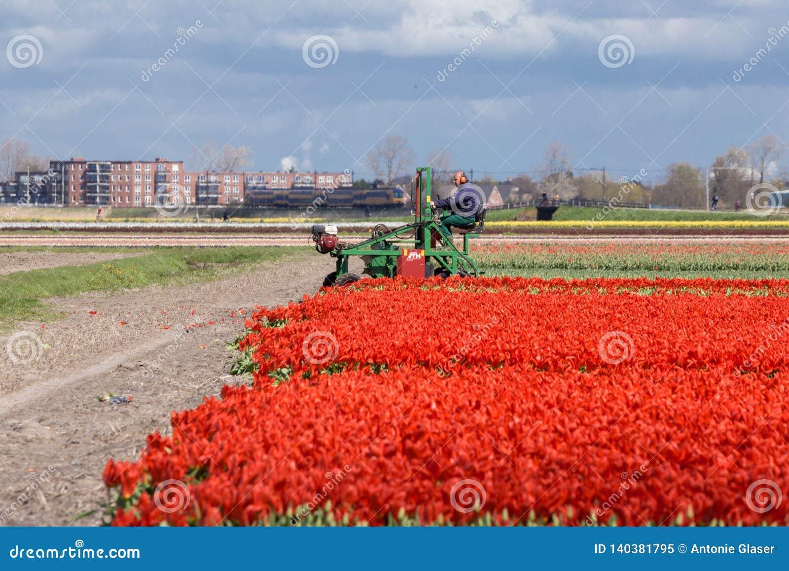 20 de marzo de 2016, los Países Bajos: Los tulipanes están en el flor lleno listo para ser cosechado como cada primavera